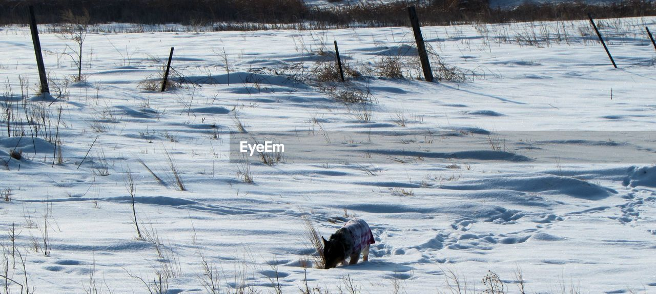 Panoramic view of pembroke welsh corgi on snow covered field