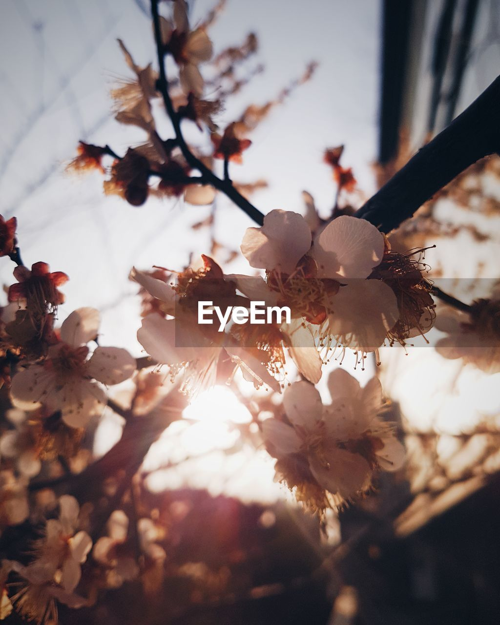 flower, fragility, tree, blossom, growth, beauty in nature, branch, nature, springtime, apple blossom, freshness, no people, white color, petal, twig, close-up, flower head, plum blossom, day, outdoors, blooming, sky