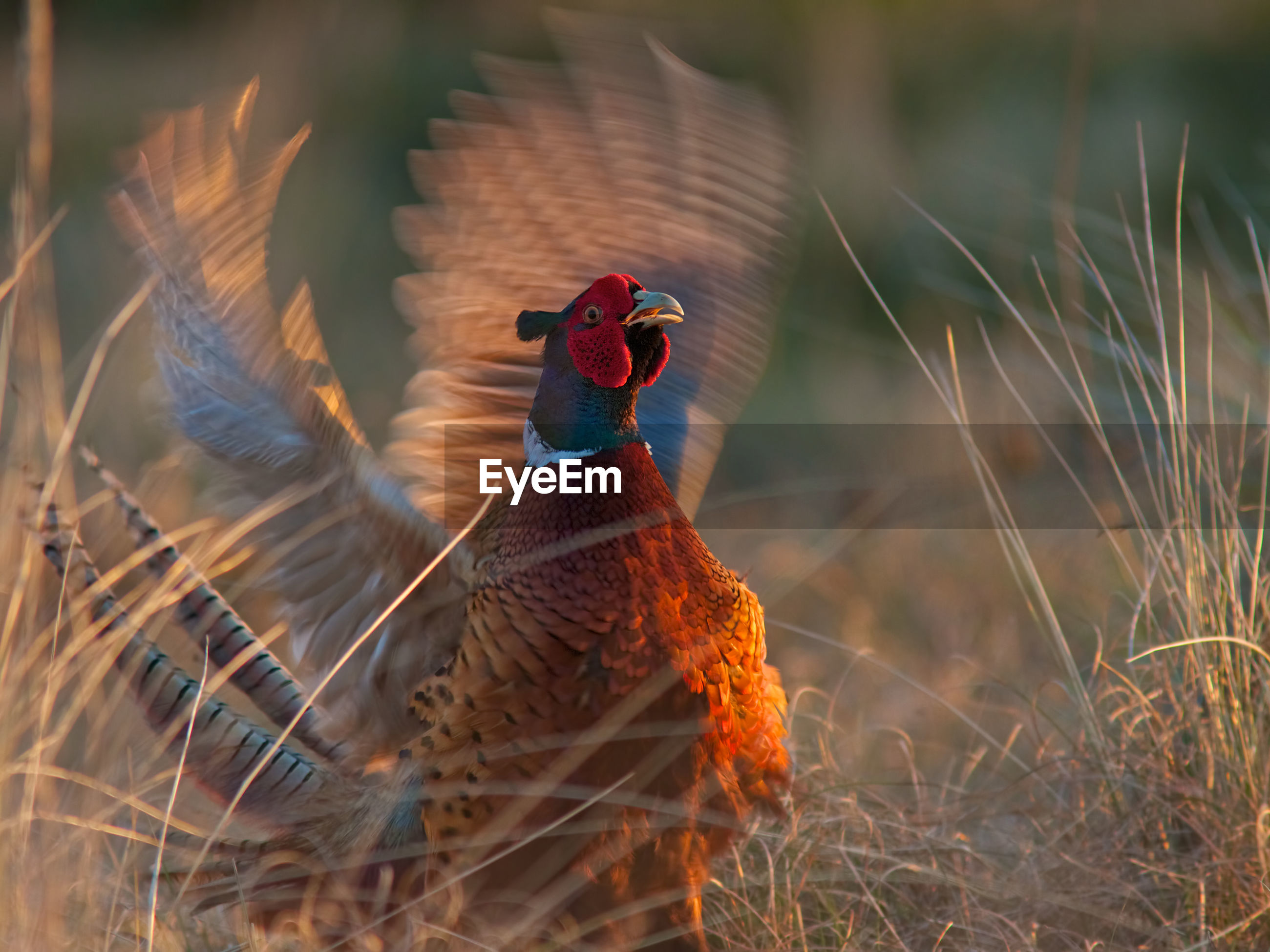Front view of pheasant in motion
