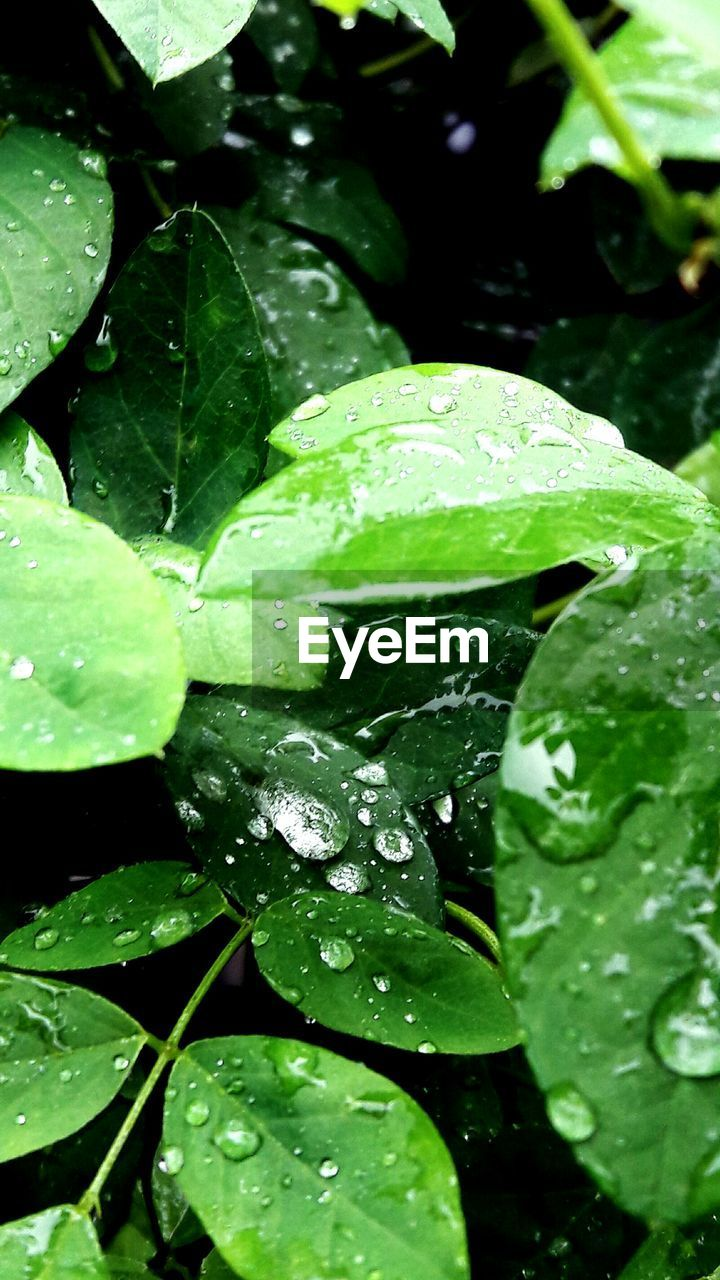 leaf, drop, water, green color, wet, freshness, raindrop, nature, plant, close-up, rain, droplet, growth, water drop, beauty in nature, day, fragility, no people, outdoors, purity, floating on water, lily pad