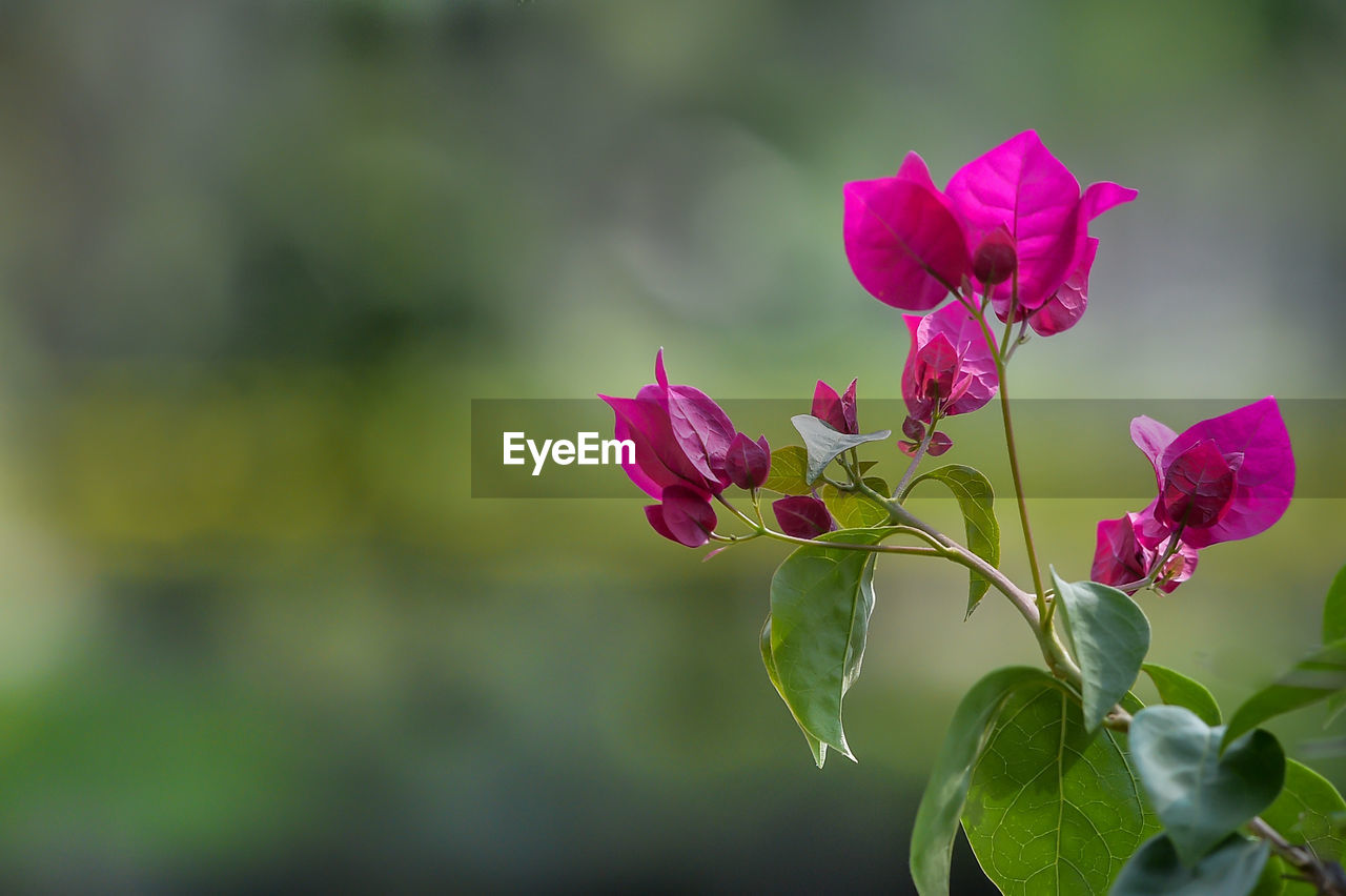 flower, flowering plant, beauty in nature, plant, vulnerability, fragility, petal, freshness, growth, close-up, focus on foreground, pink color, flower head, inflorescence, nature, leaf, day, plant part, no people, outdoors, purple