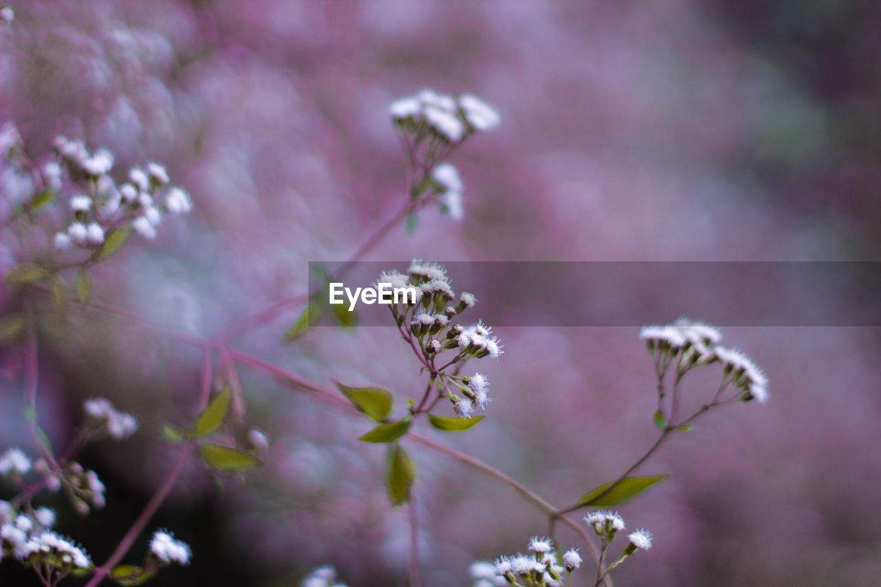 flower, flowering plant, plant, growth, fragility, beauty in nature, vulnerability, freshness, close-up, nature, no people, day, selective focus, petal, focus on foreground, flower head, outdoors, pink color, inflorescence, purple