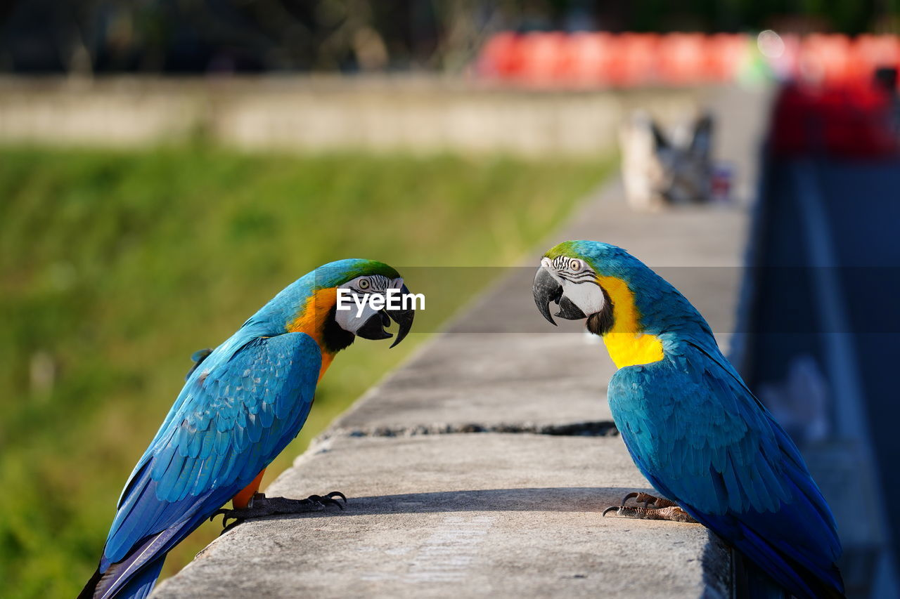 group of animals, bird, parrot, two animals, focus on foreground, vertebrate, animal wildlife, macaw, animals in the wild, animal, animal themes, blue, gold and blue macaw, perching, day, close-up, no people, multi colored, outdoors, nature
