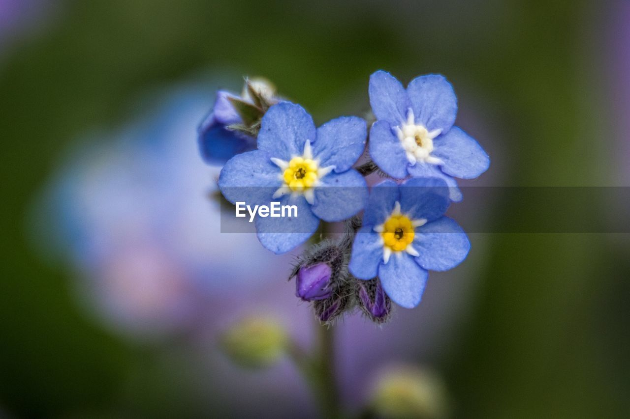 Close-Up Of Forget-Me-Nots Growing On Plant