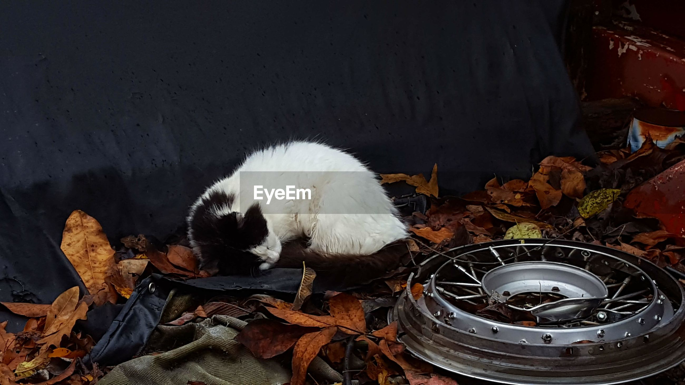High angle view of cat by abandoned wheel during autumn
