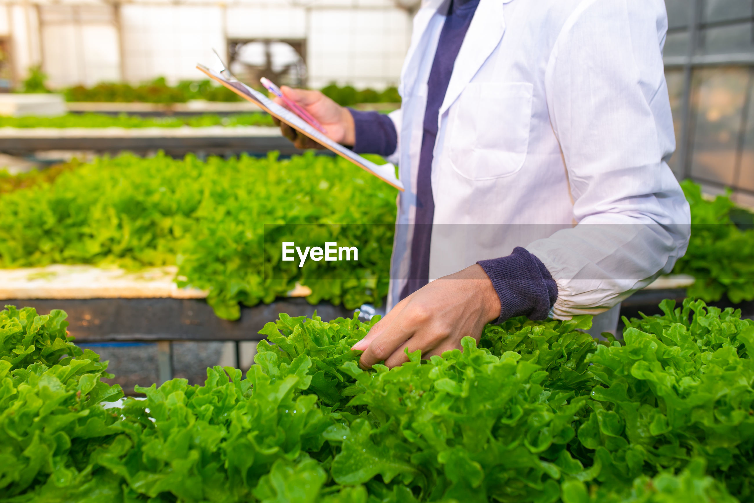 Scientist or worker testing and collect data from lettuce organic hydroponic.