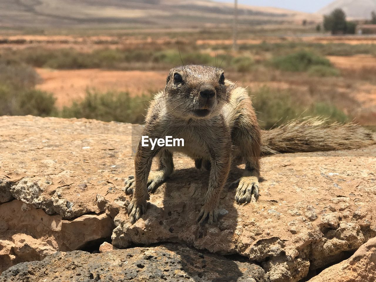 animals in the wild, animal themes, animal, sunlight, animal wildlife, nature, one animal, focus on foreground, rock, day, solid, rock - object, mammal, meerkat, looking at camera, no people, portrait, land, field, vertebrate, outdoors