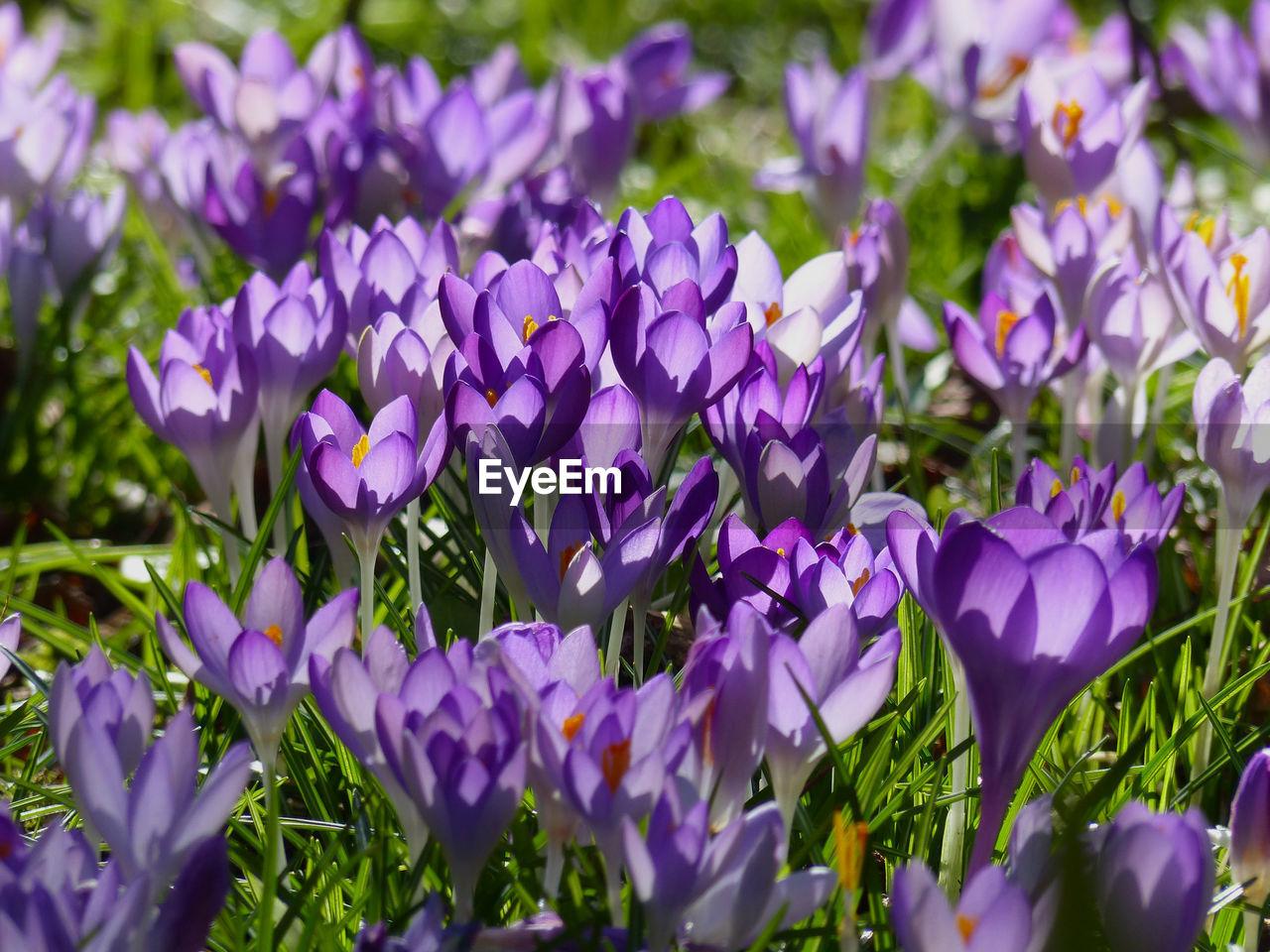 CLOSE-UP OF PURPLE CROCUS FLOWERS GROWING ON FIELD