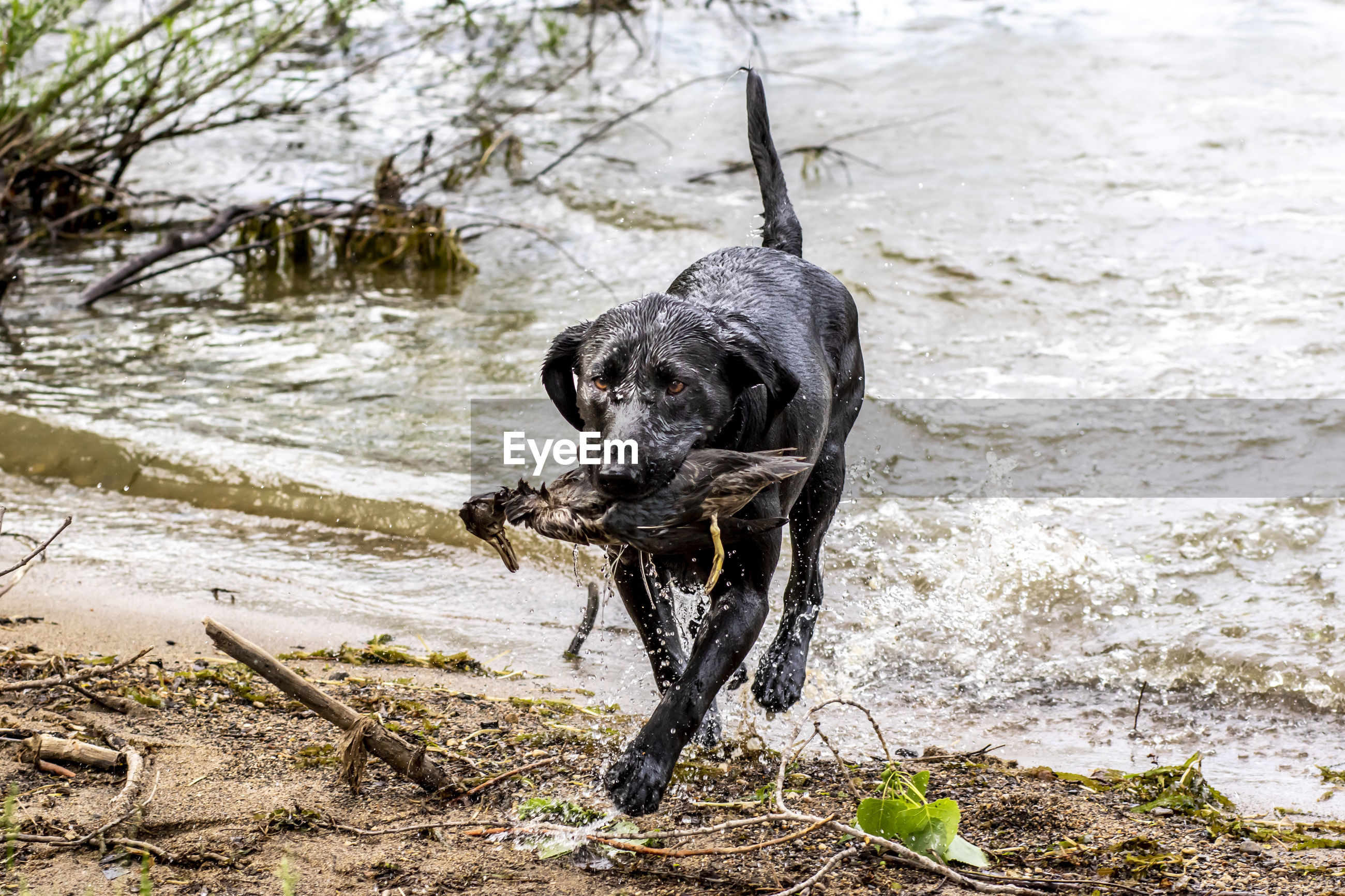 BLACK DOG DRINKING WATER IN A LAKE
