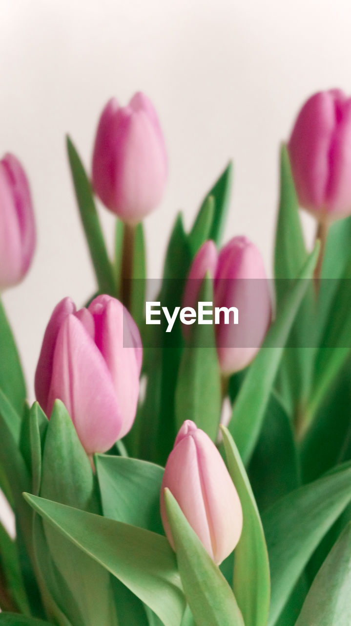 CLOSE-UP OF PINK TULIPS AGAINST PLANTS
