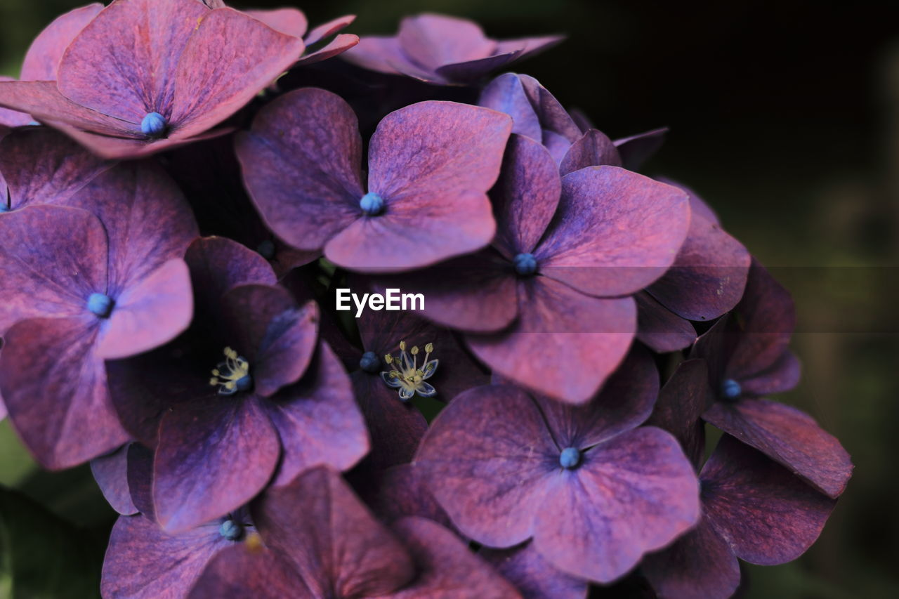 flowering plant, flower, fragility, vulnerability, petal, inflorescence, flower head, plant, freshness, close-up, hydrangea, beauty in nature, growth, nature, no people, focus on foreground, purple, outdoors, day, botany
