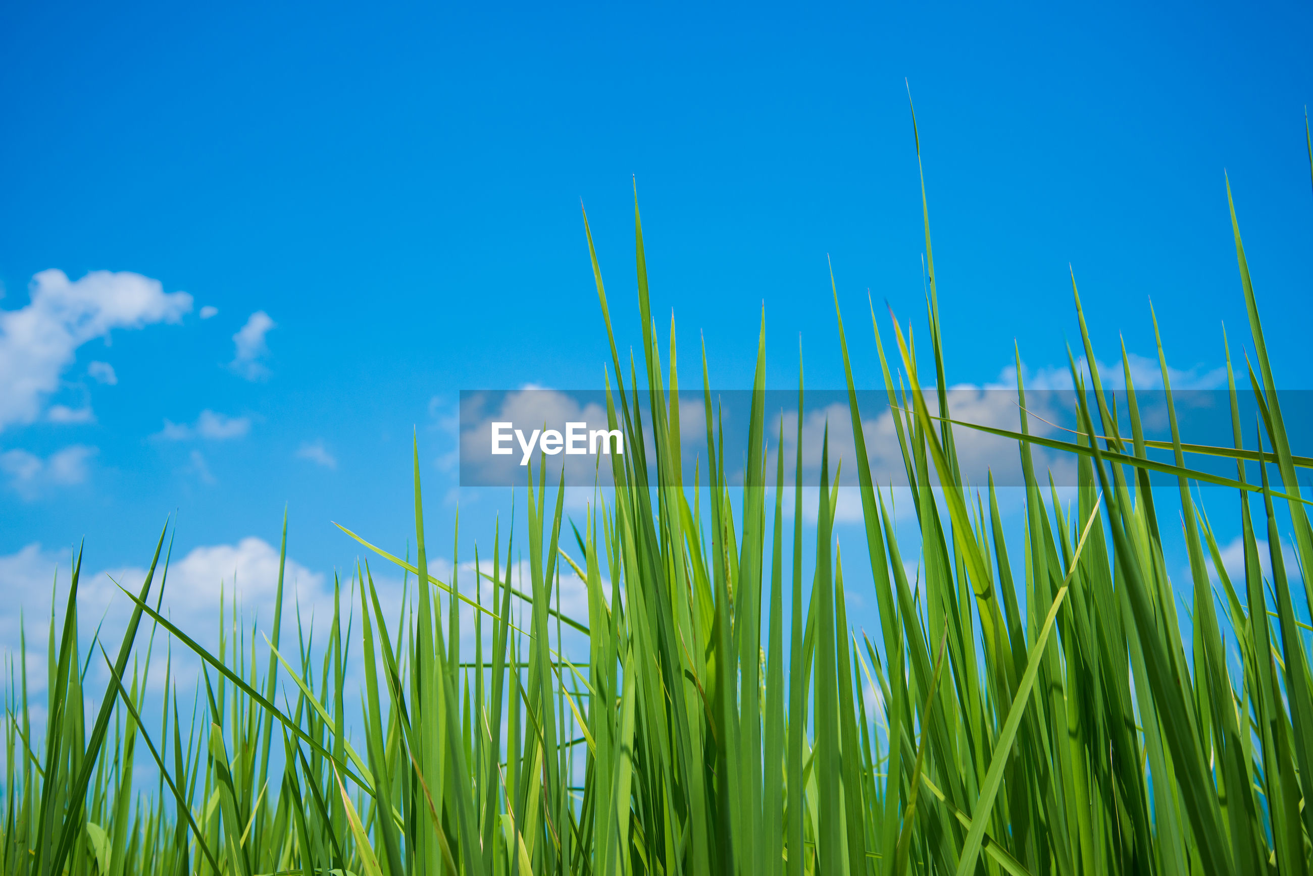 CLOSE-UP OF FRESH GRASS AGAINST BLUE SKY