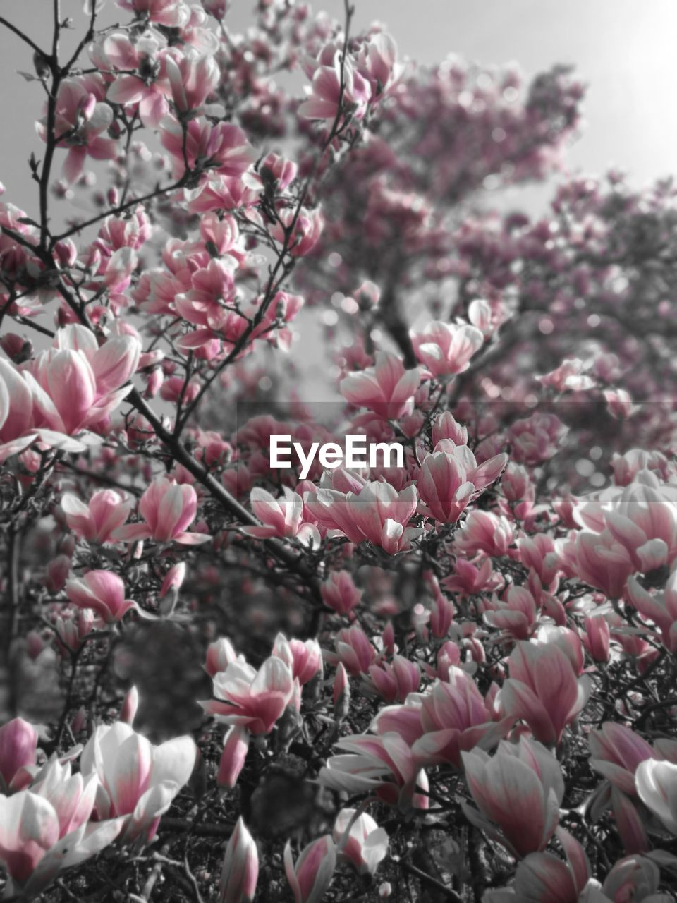 flower, flowering plant, plant, freshness, pink color, beauty in nature, fragility, growth, vulnerability, tree, branch, blossom, springtime, nature, close-up, no people, day, selective focus, outdoors, petal, flower head, cherry blossom, spring, cherry tree, lilac