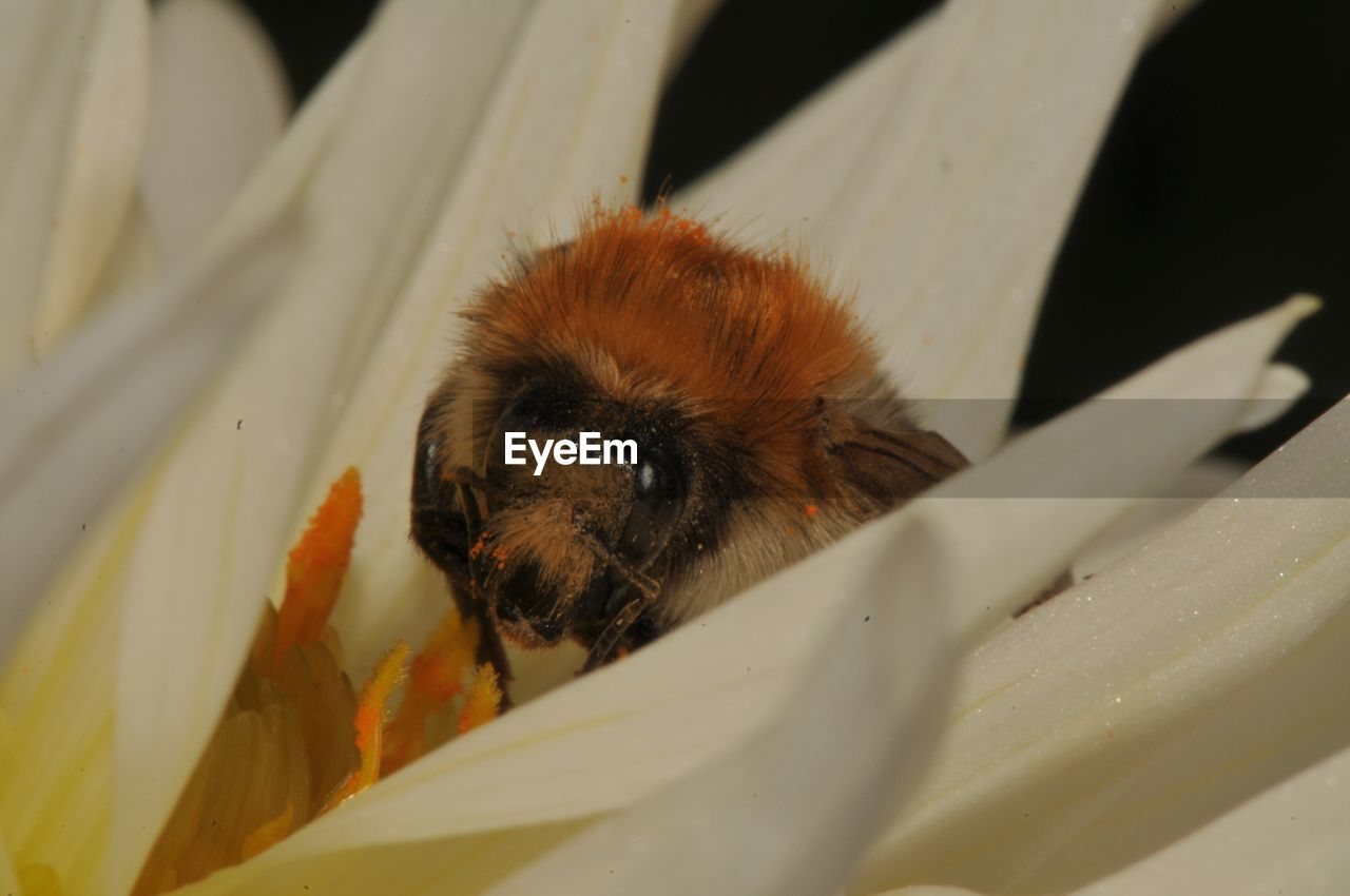 one animal, animal themes, animals in the wild, insect, animal wildlife, close-up, no people, day, nature, outdoors, mammal, bee