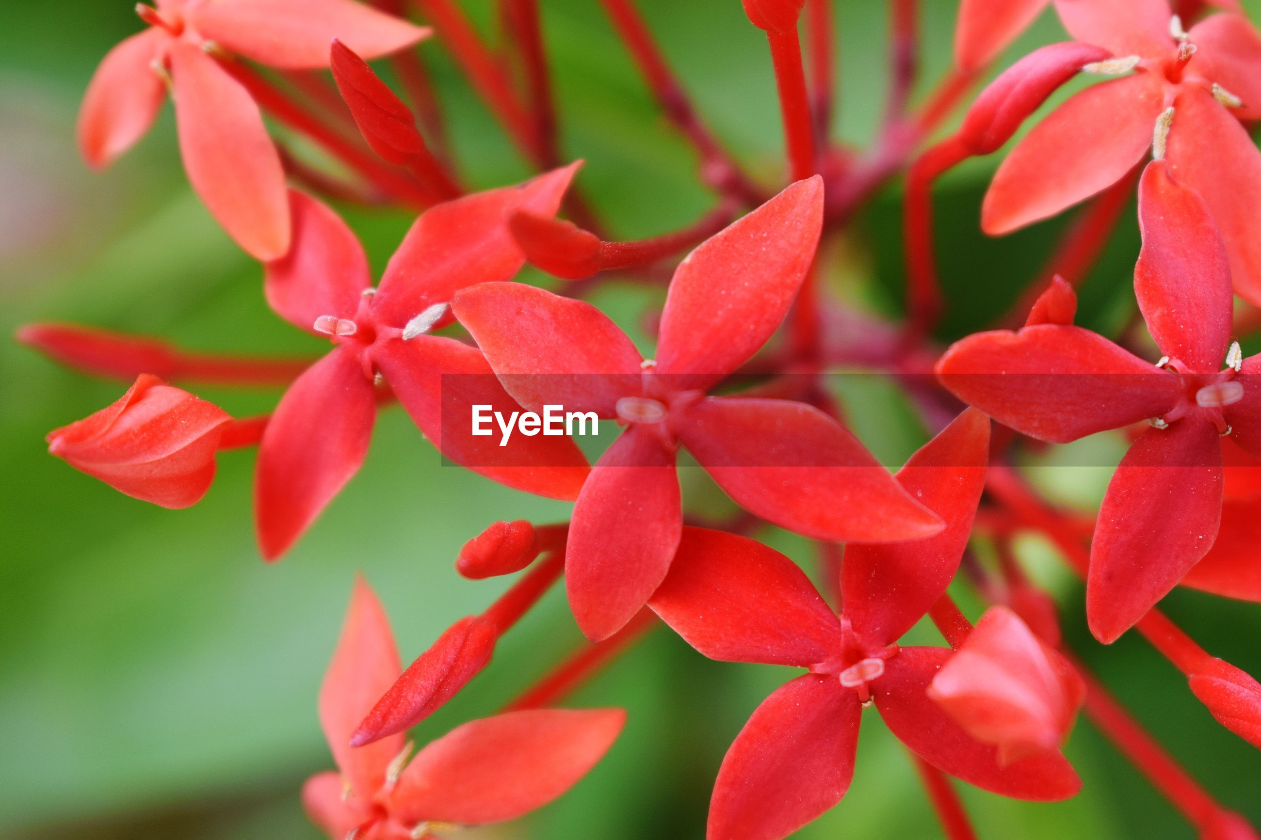 CLOSE-UP OF RED FLOWERING PLANT WITH FLOWERS