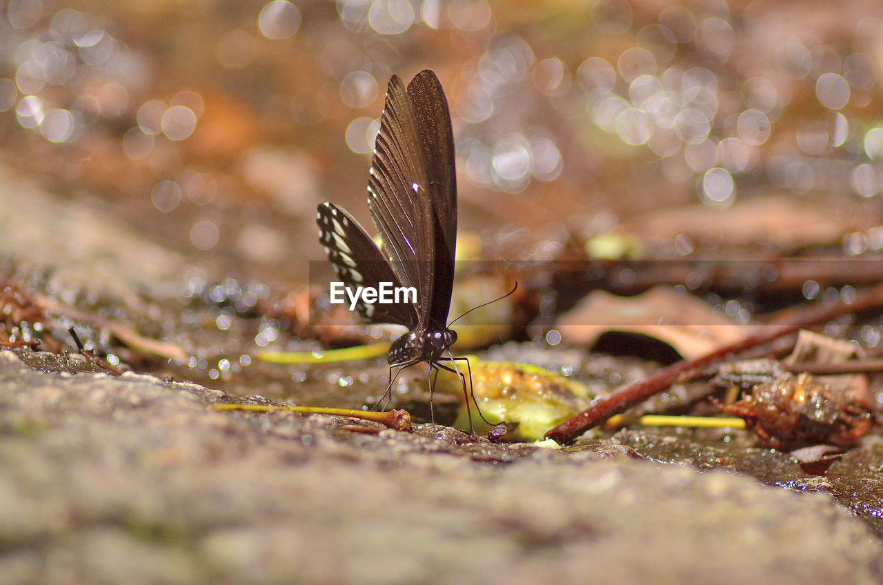 selective focus, animal wildlife, close-up, animals in the wild, invertebrate, animal themes, animal, insect, nature, one animal, day, no people, beauty in nature, animal wing, outdoors, land, water, leaf, plant part, surface level, butterfly - insect