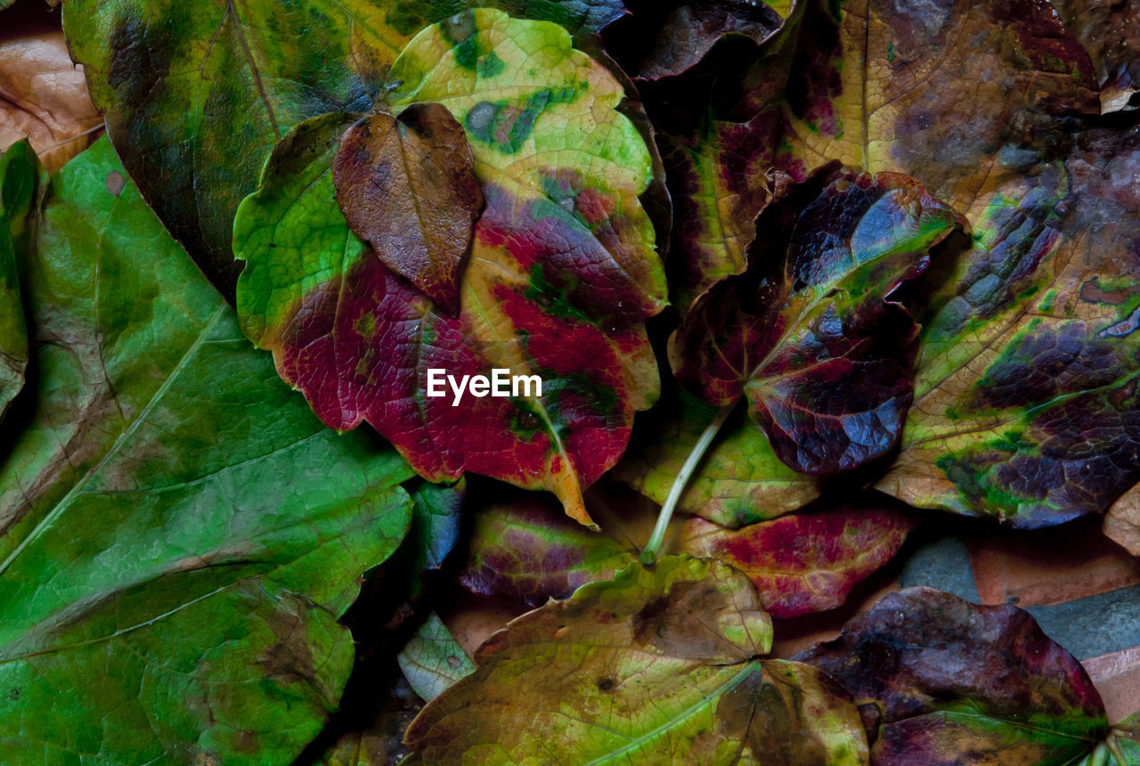 plant part, leaf, full frame, close-up, backgrounds, nature, no people, plant, beauty in nature, autumn, leaves, day, fragility, vulnerability, change, green color, leaf vein, natural pattern, growth, directly above, outdoors, natural condition