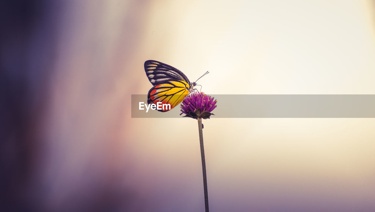 flower, flowering plant, beauty in nature, animal themes, animal wildlife, close-up, one animal, insect, animals in the wild, animal, invertebrate, fragility, vulnerability, plant, animal wing, freshness, nature, no people, butterfly - insect, plant stem, purple, flower head, outdoors, pollination, butterfly