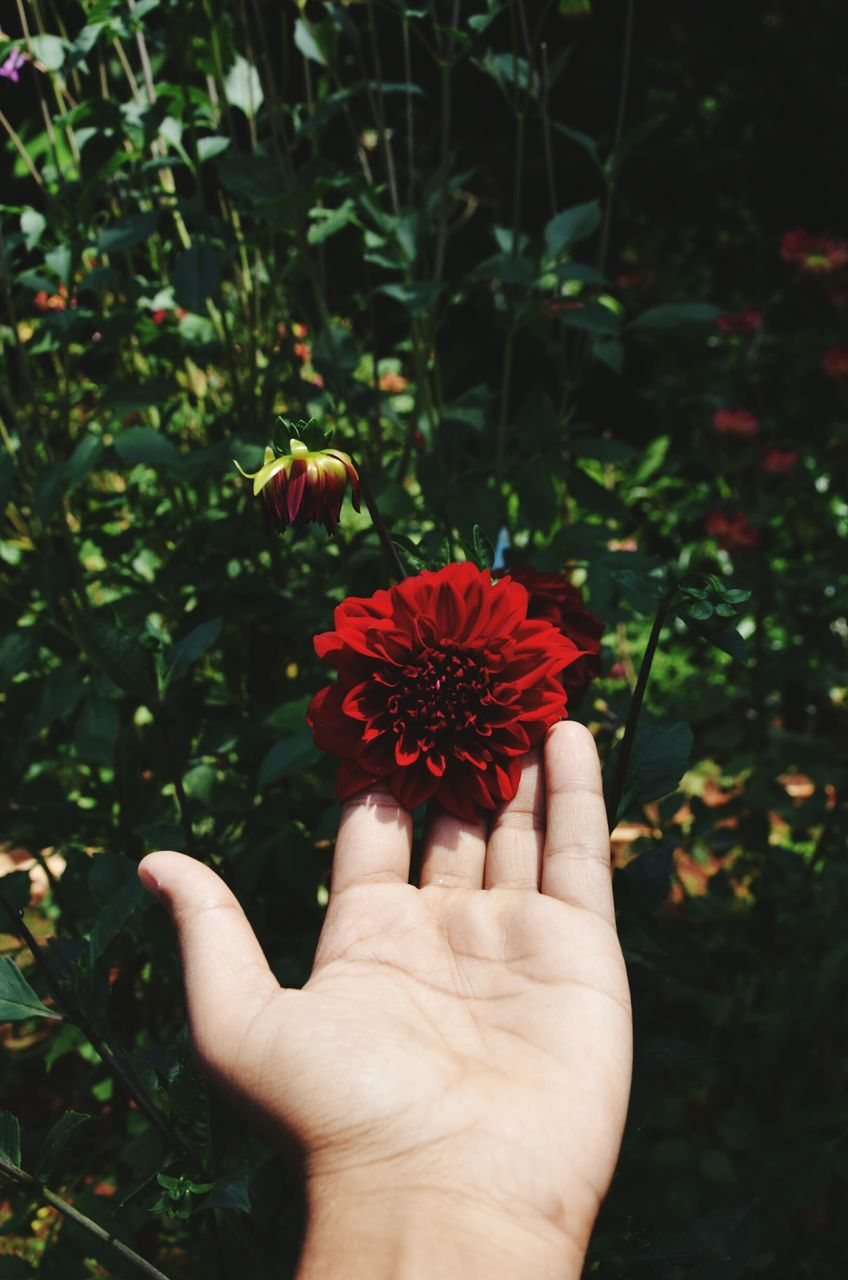 flower, flowering plant, human hand, plant, hand, freshness, fragility, vulnerability, beauty in nature, one person, petal, flower head, human body part, close-up, growth, inflorescence, holding, red, focus on foreground, nature, pollen, outdoors, finger