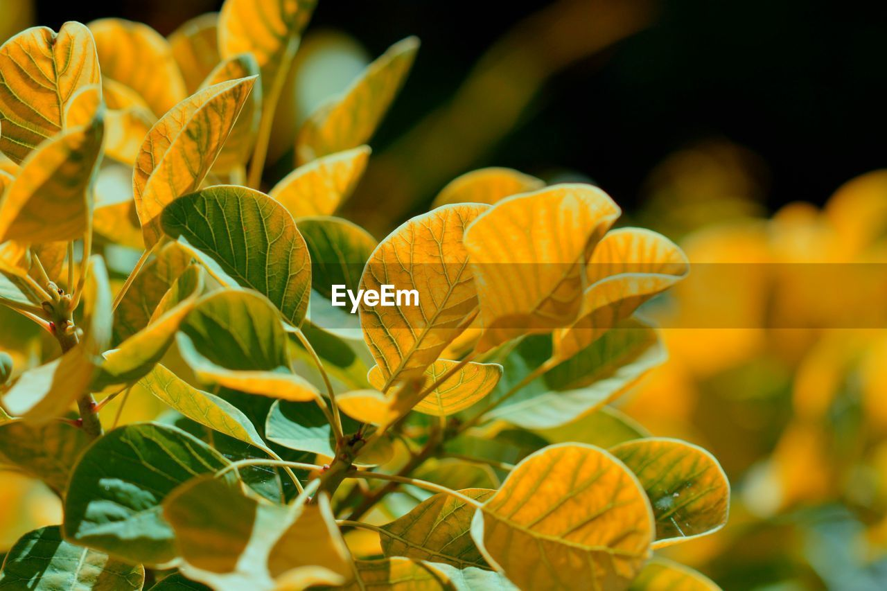 Close-Up Of Yellow Flowering Plant Leaves
