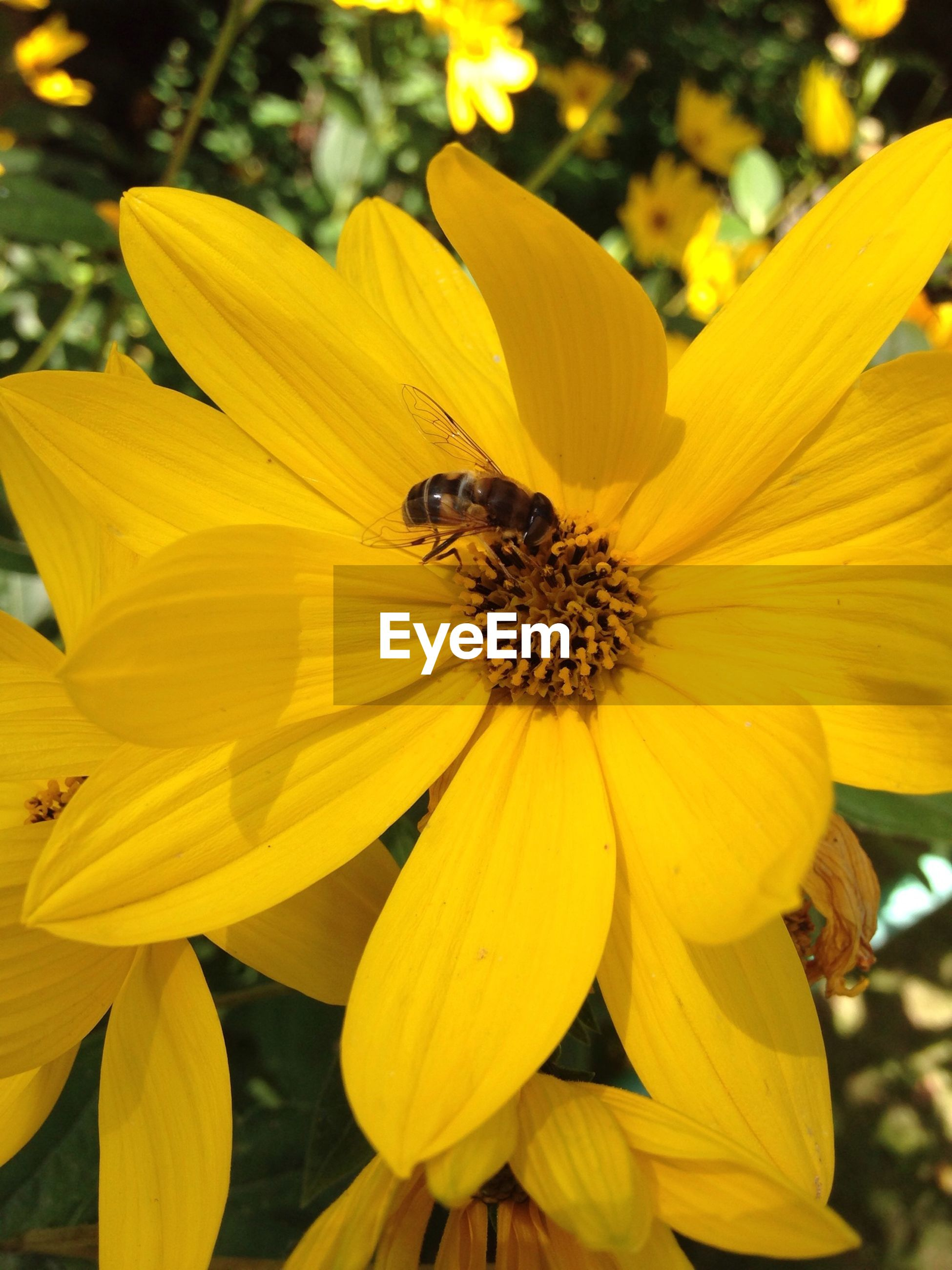 flower, petal, insect, one animal, yellow, animal themes, animals in the wild, freshness, flower head, wildlife, fragility, pollination, bee, pollen, beauty in nature, close-up, growth, nature, focus on foreground, symbiotic relationship