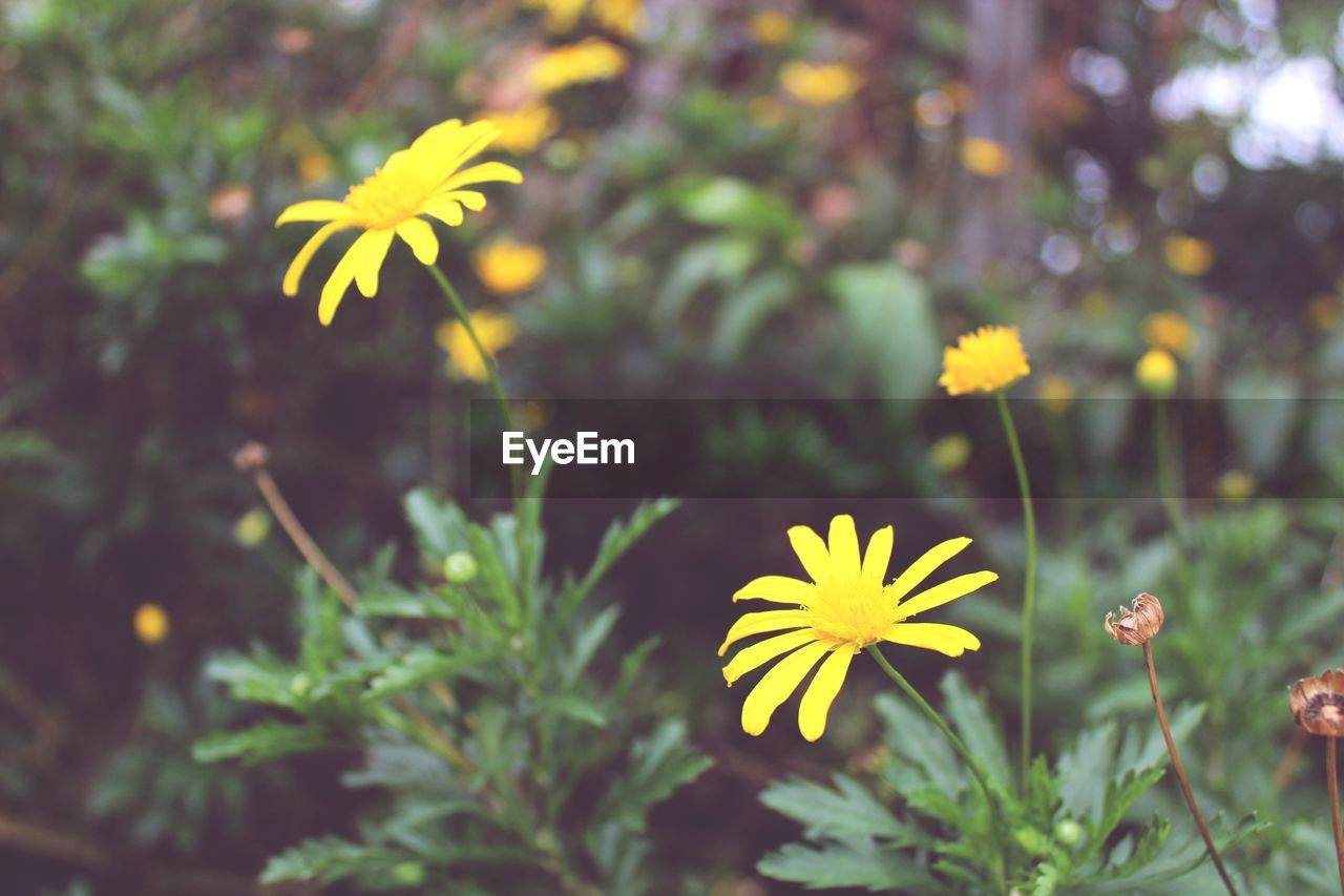 plant, yellow, flower, freshness, flowering plant, growth, beauty in nature, vulnerability, fragility, petal, flower head, inflorescence, close-up, nature, selective focus, day, no people, land, outdoors, field, pollen, gazania