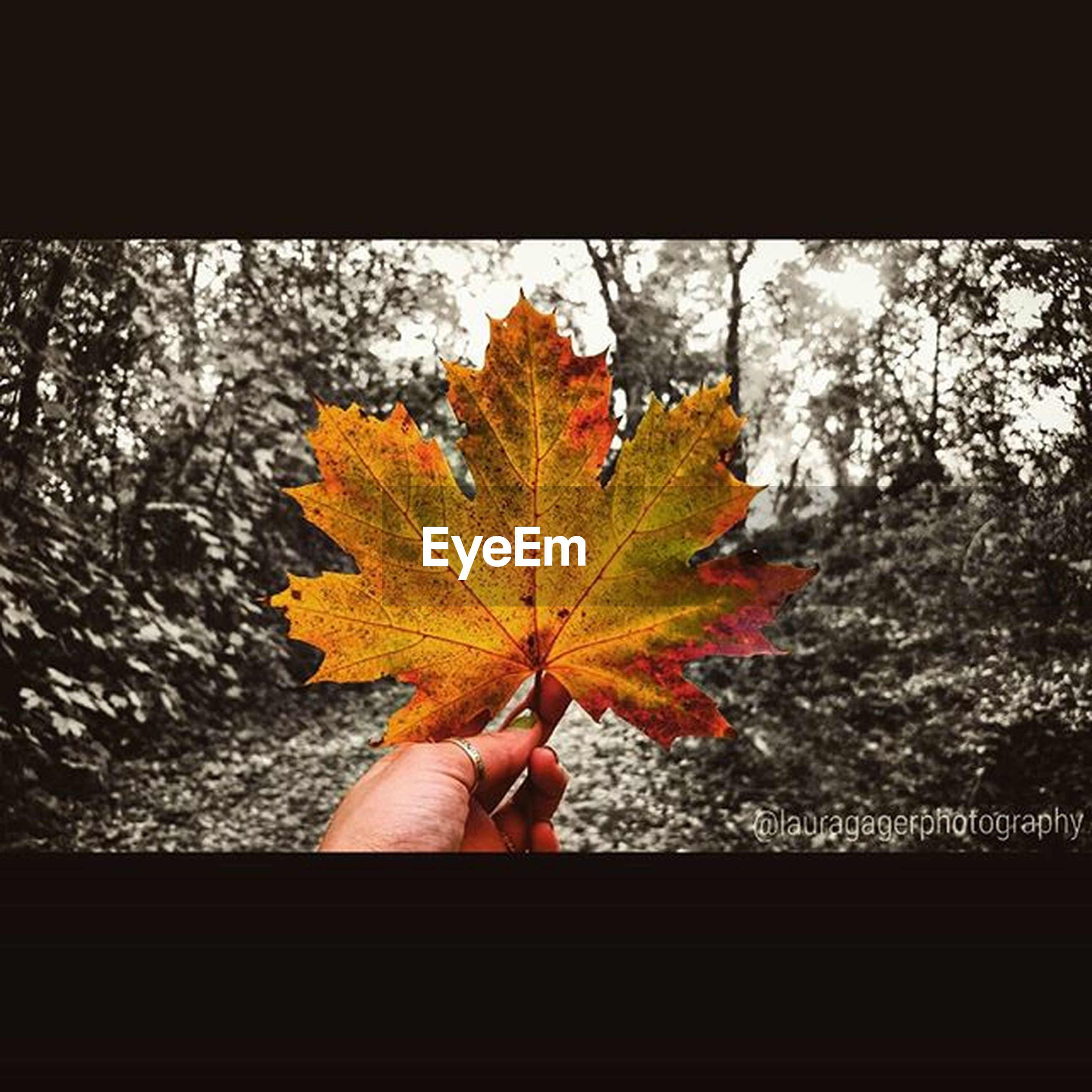 autumn, person, leaf, change, part of, one person, close-up, holding, cropped, maple leaf, human finger, orange color, tree, leaf vein, season, auto post production filter, focus on foreground, nature, day