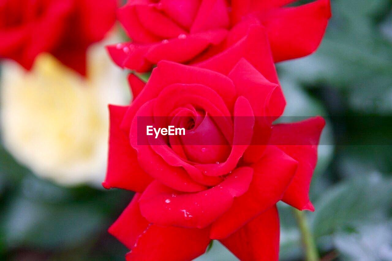 flower, petal, rose - flower, nature, beauty in nature, red, fragility, flower head, freshness, close-up, no people, outdoors, focus on foreground, growth, day, blooming