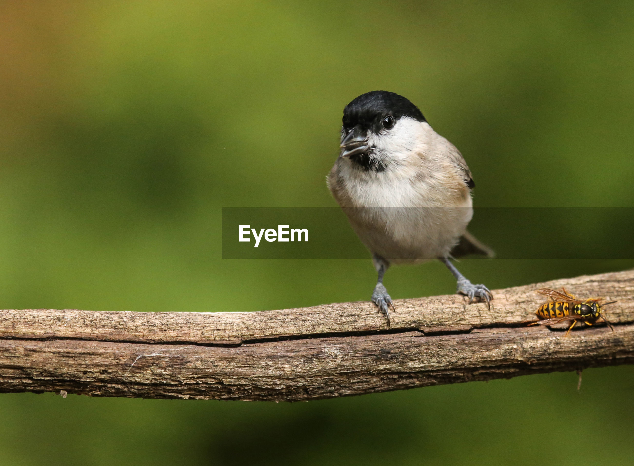 one animal, animal themes, animals in the wild, animal wildlife, bird, perching, focus on foreground, wood - material, close-up, nature, outdoors, day, no people, full length, great tit, beauty in nature