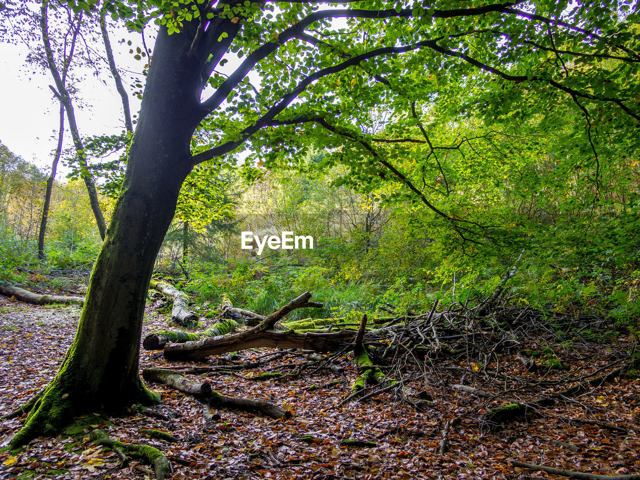 tree, plant, forest, land, tranquility, growth, beauty in nature, nature, tree trunk, trunk, tranquil scene, no people, day, scenics - nature, woodland, green color, non-urban scene, outdoors, branch, environment, trail