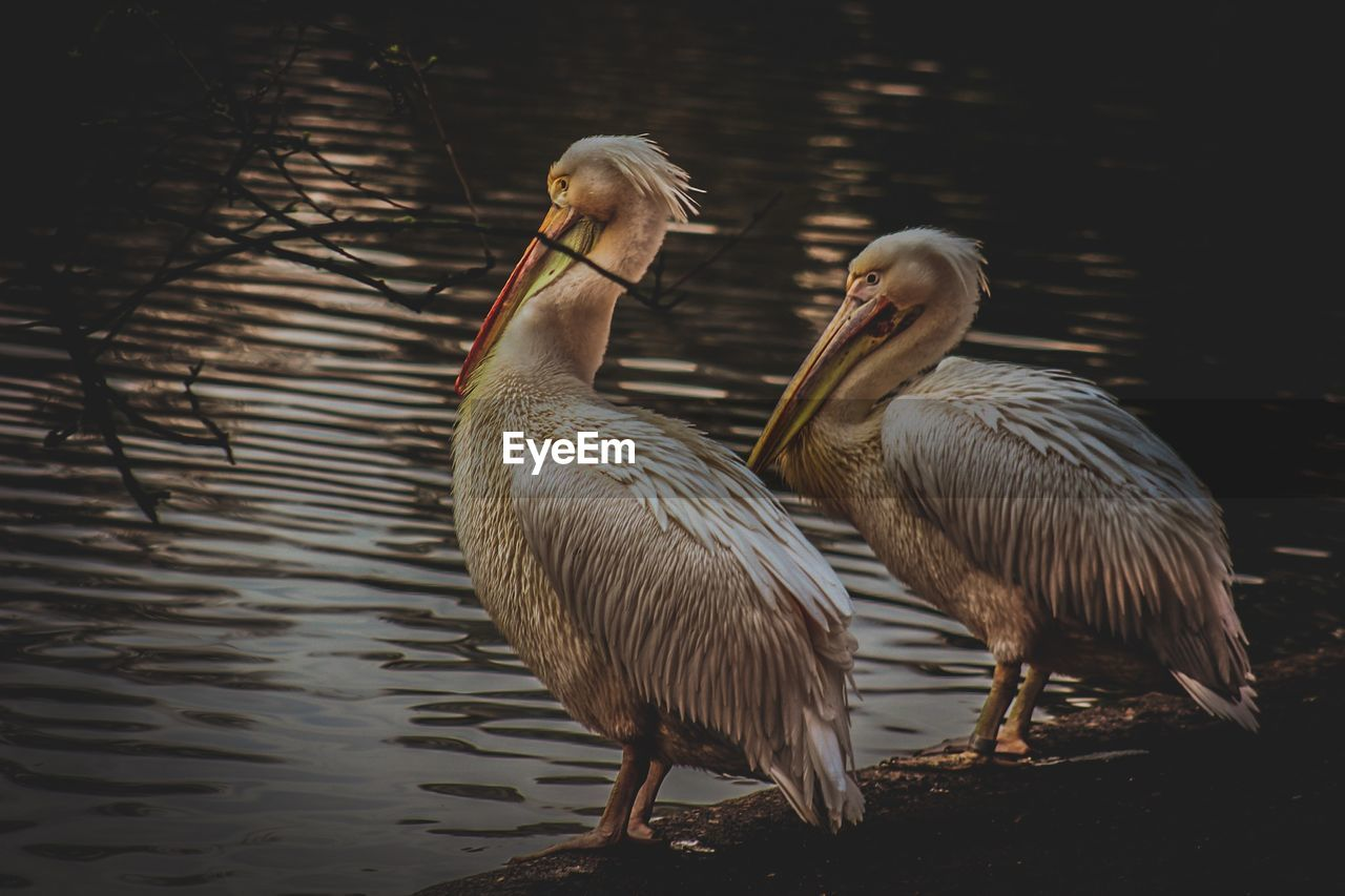bird, animal themes, vertebrate, animal, animals in the wild, animal wildlife, water, group of animals, two animals, lake, no people, nature, water bird, goose, day, poultry, duck, beach, pelican, animal family