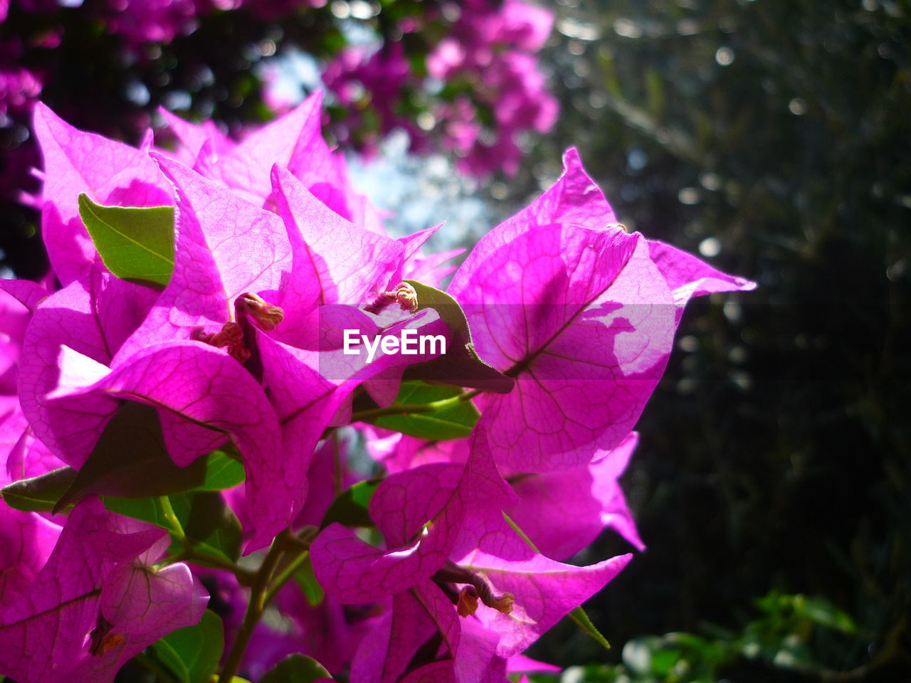 nature, beauty in nature, pink color, outdoors, flower, fragility, day, petal, leaf, growth, no people, focus on foreground, bougainvillea, plant, close-up, flower head, petunia, freshness, periwinkle