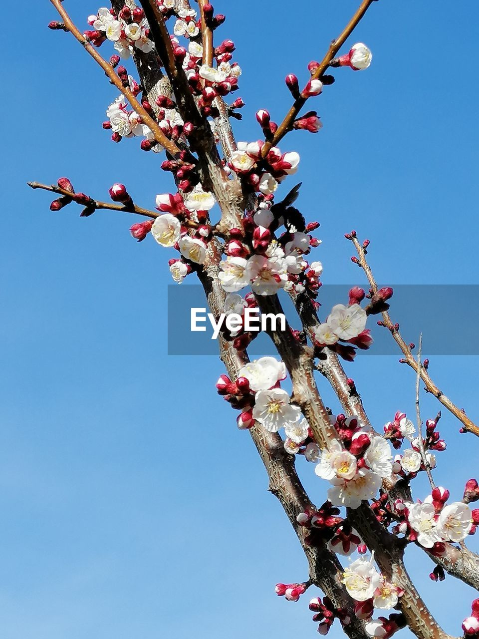 low angle view, tree, plant, flower, sky, flowering plant, growth, fragility, vulnerability, branch, blossom, freshness, nature, springtime, day, clear sky, beauty in nature, no people, cherry blossom, twig, pink color, outdoors, cherry tree, spring