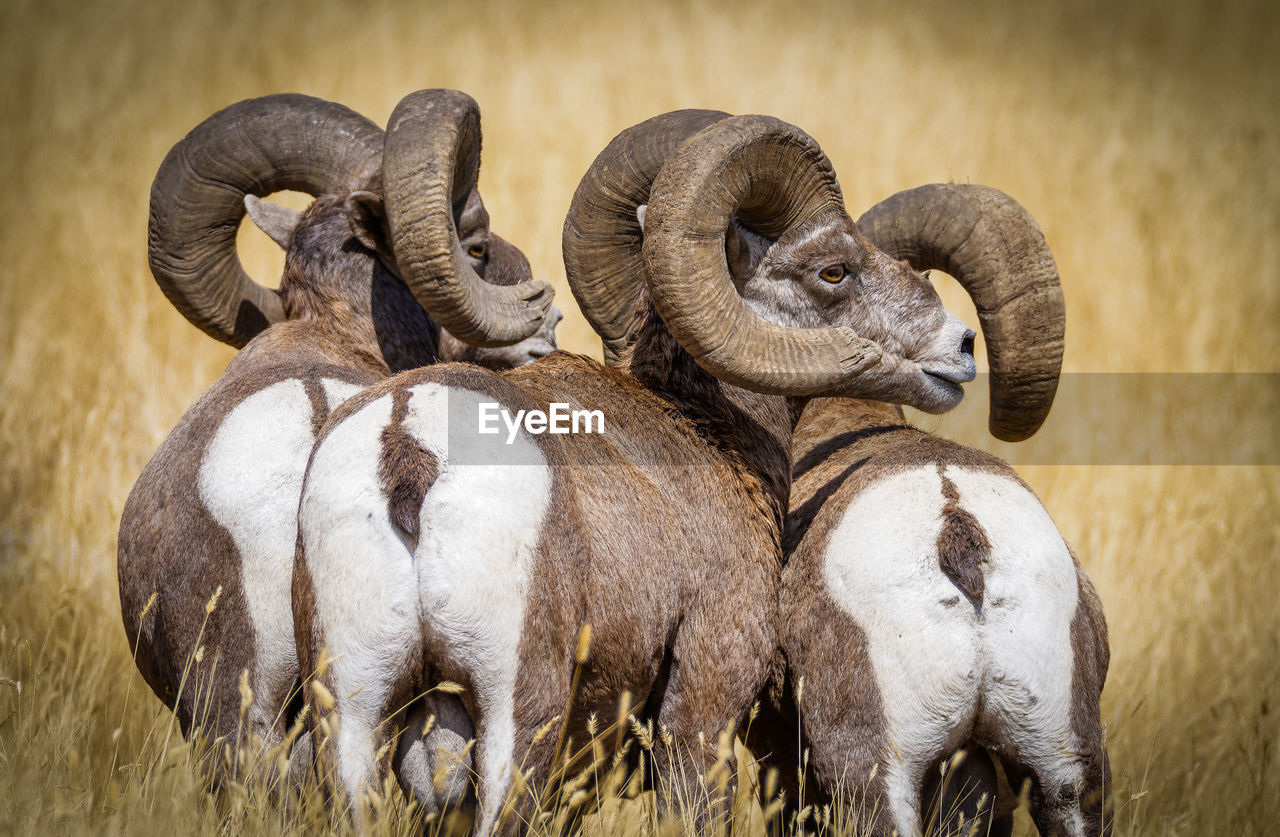 animal themes, animal, group of animals, mammal, vertebrate, domestic animals, animal wildlife, domestic, pets, livestock, field, no people, animals in the wild, land, nature, day, sheep, togetherness, herbivorous, grass, animal family, herd