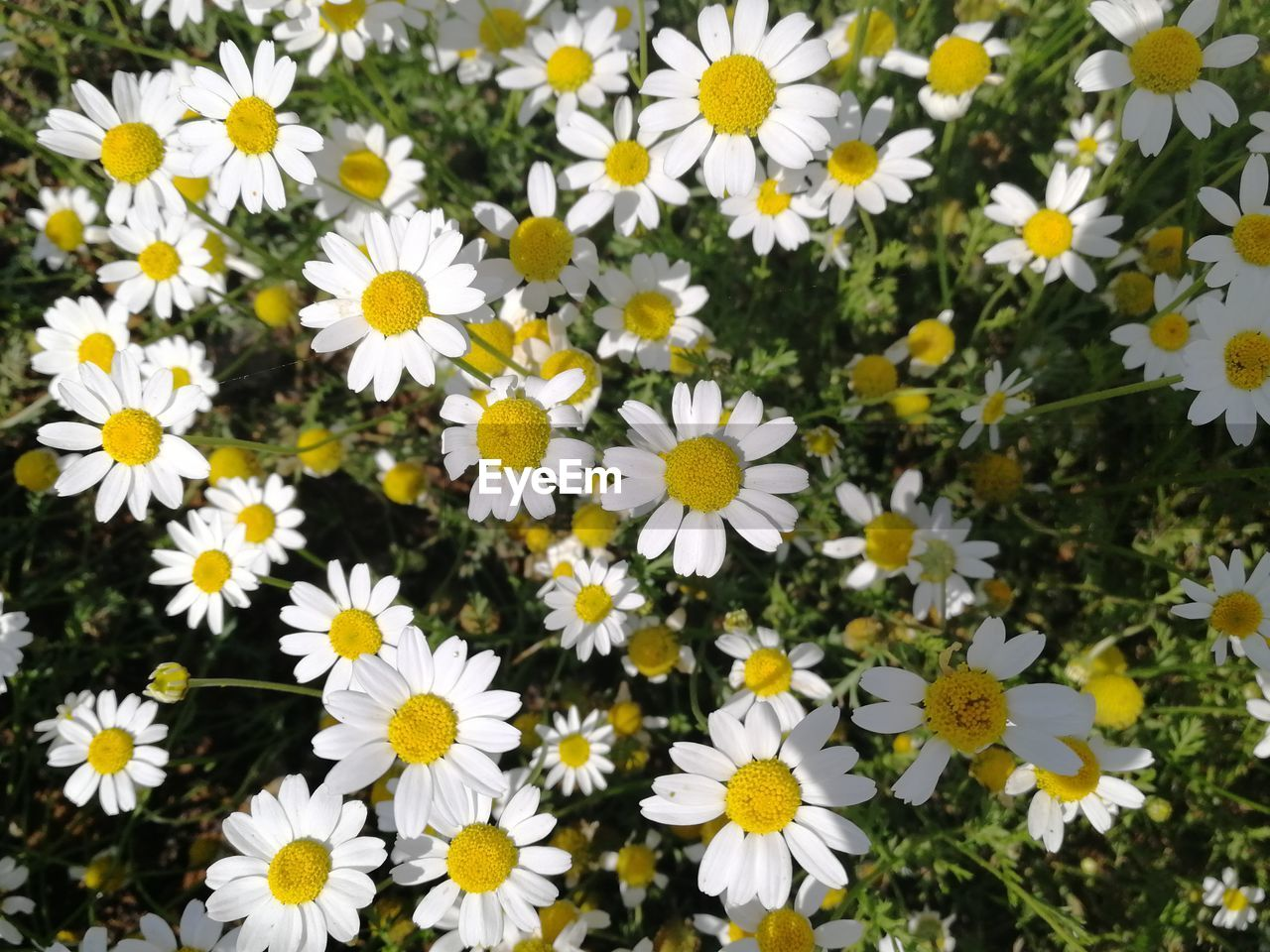 flowering plant, flower, freshness, petal, fragility, vulnerability, plant, inflorescence, flower head, beauty in nature, growth, yellow, close-up, daisy, nature, pollen, no people, day, white color, abundance, outdoors, flowerbed