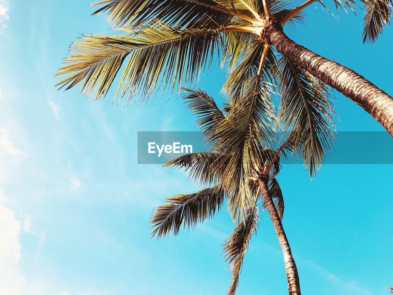 palm tree, tropical climate, sky, low angle view, tree, growth, nature, plant, beauty in nature, coconut palm tree, no people, cloud - sky, leaf, day, trunk, tree trunk, palm leaf, tropical tree, tranquility, blue, outdoors, tall - high, turquoise colored