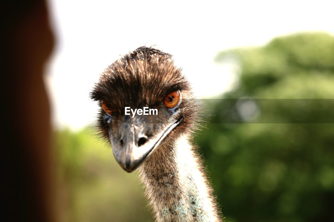 animal themes, one animal, animal wildlife, animals in the wild, focus on foreground, bird, day, no people, portrait, looking at camera, outdoors, mammal, nature, ostrich, close-up