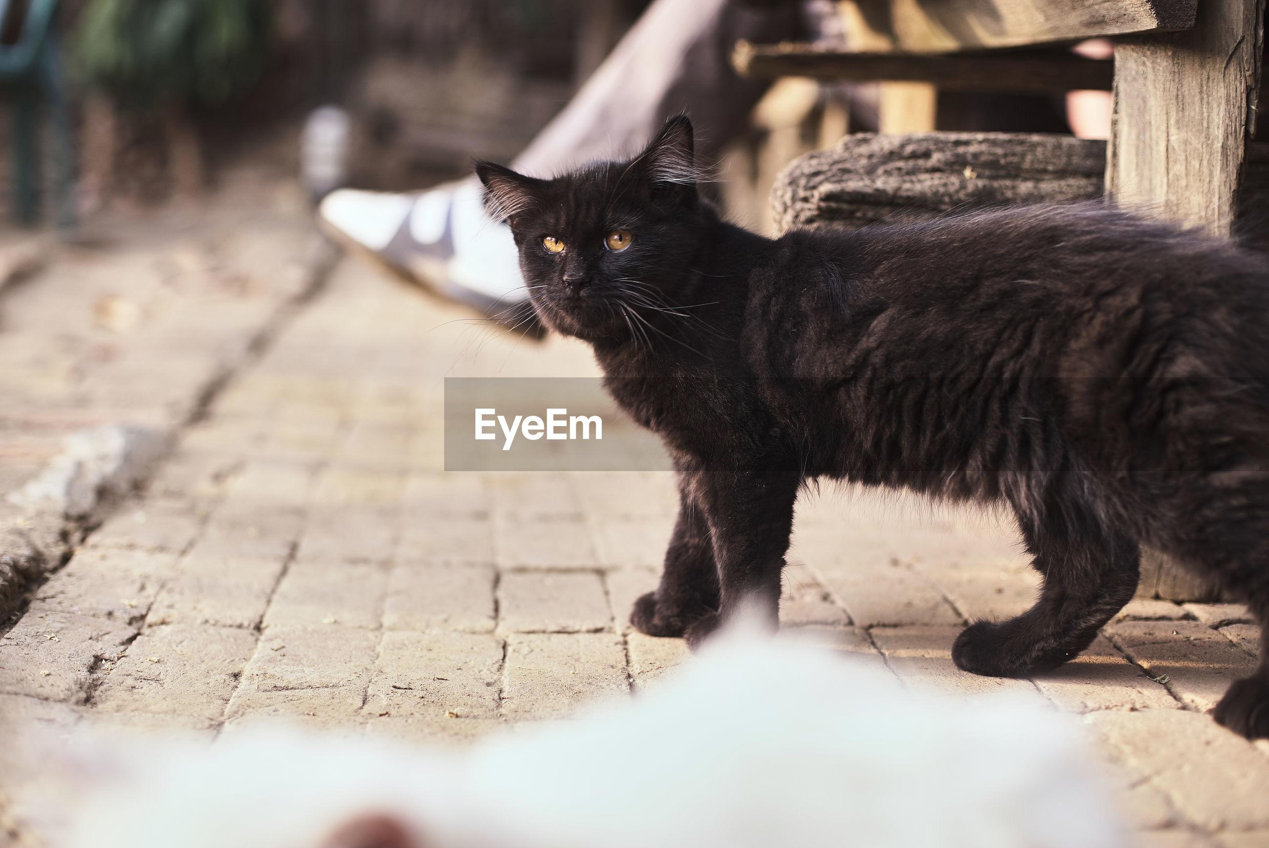 Portrait of black cat on footpath