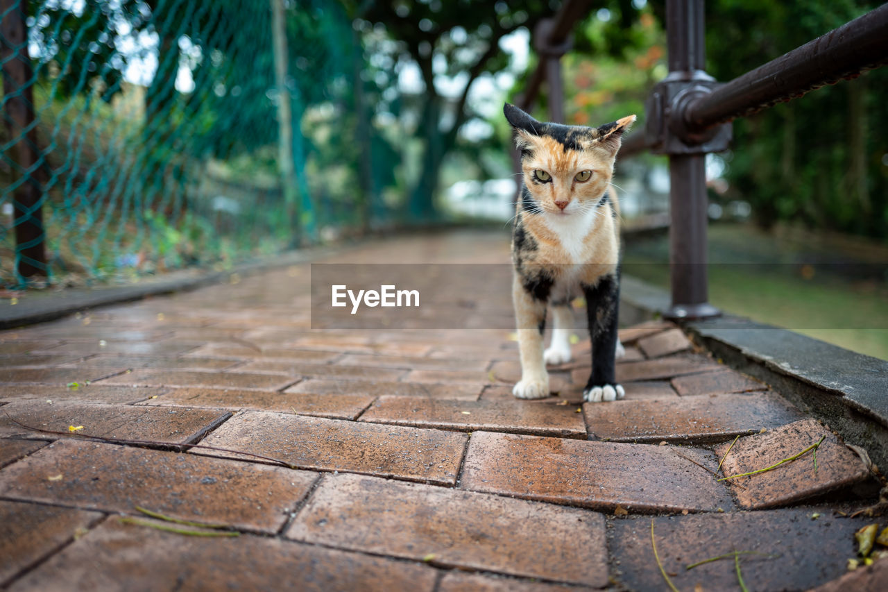 one animal, mammal, domestic, pets, domestic animals, feline, cat, vertebrate, domestic cat, looking at camera, portrait, no people, sitting, day, footpath, front view, focus on foreground, whisker, paving stone, tabby