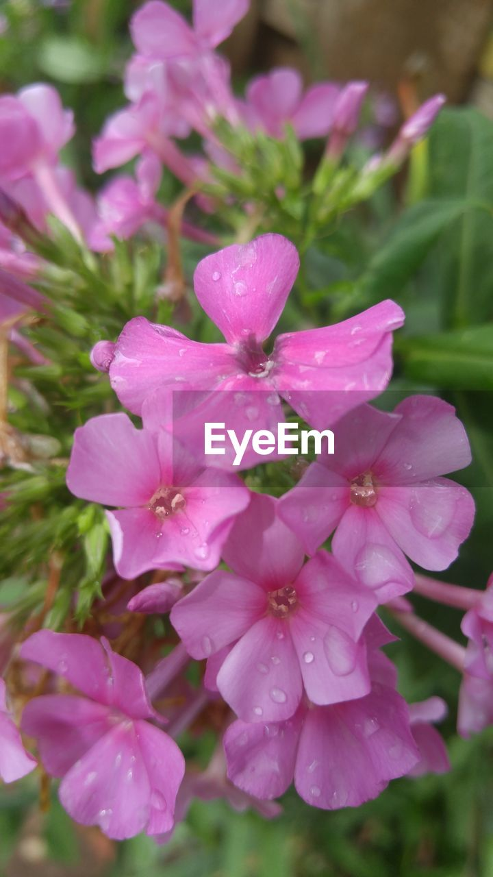 pink color, flower, beauty in nature, petal, nature, fragility, growth, flower head, no people, plant, freshness, drop, day, outdoors, close-up, blooming, water, periwinkle