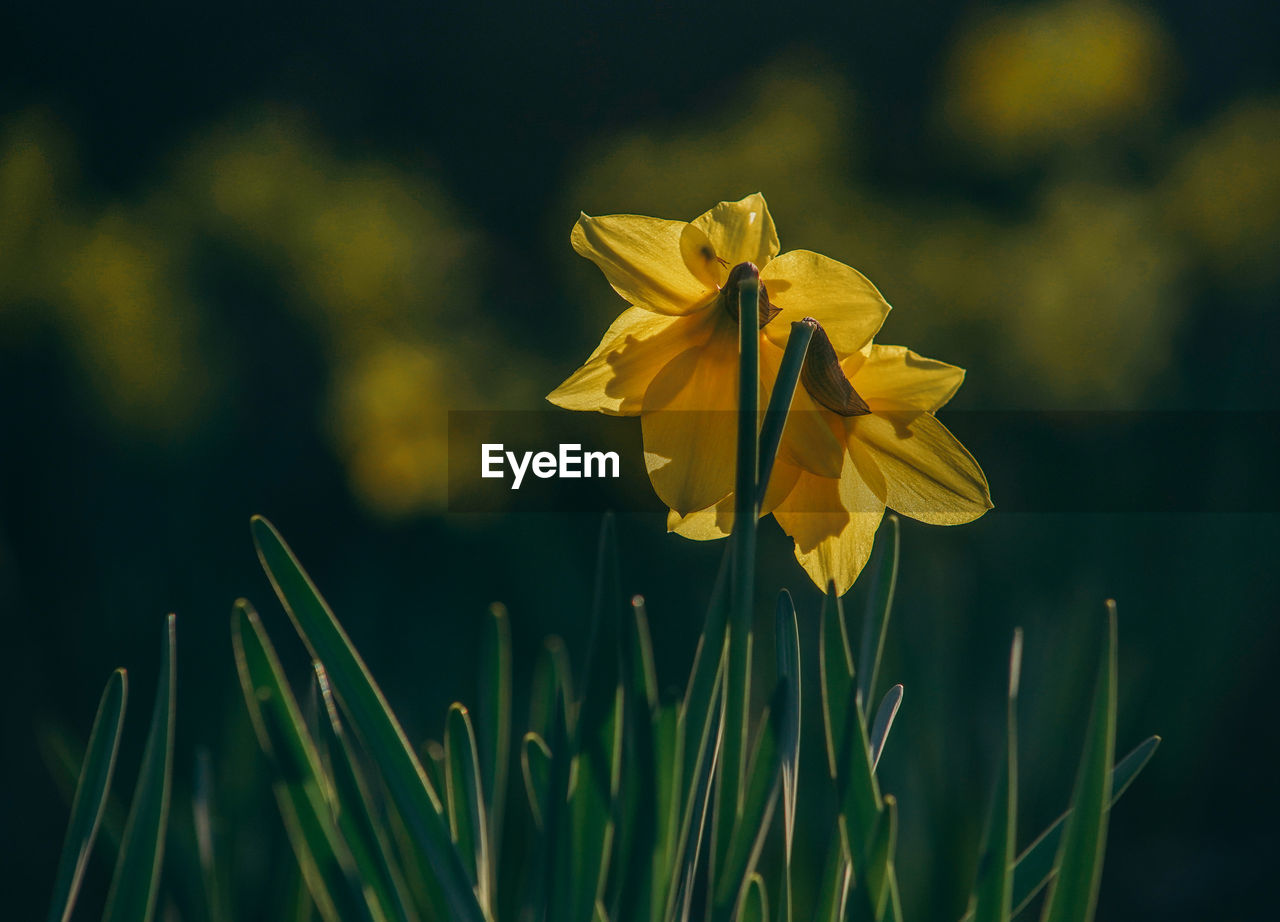 flower, flowering plant, fragility, vulnerability, plant, petal, growth, freshness, beauty in nature, yellow, inflorescence, flower head, close-up, focus on foreground, nature, field, day, no people, land, daffodil, outdoors, blade of grass, sepal