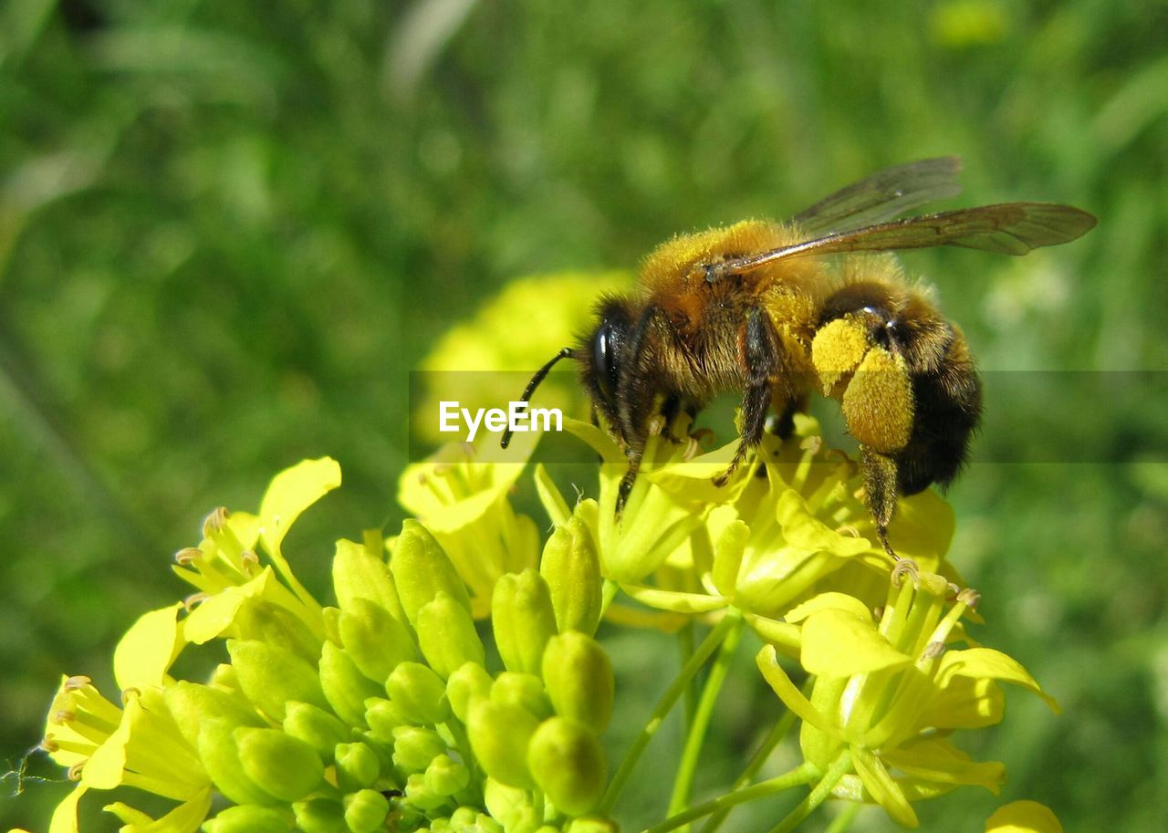 insect, invertebrate, animal themes, animal wildlife, animals in the wild, one animal, animal, bee, flowering plant, plant, flower, fragility, vulnerability, close-up, petal, beauty in nature, growth, flower head, pollination, day, no people, honey bee, outdoors, pollen, bumblebee