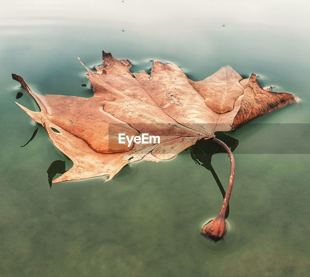 plant part, leaf, autumn, close-up, nature, plant, change, dry, day, no people, beauty in nature, vulnerability, fragility, leaf vein, water, tranquility, outdoors, focus on foreground, leaves, natural condition, maple leaf, floating on water, dried, wilted plant