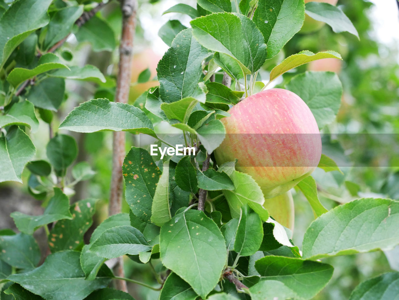 leaf, plant part, growth, plant, green color, freshness, healthy eating, food, fruit, food and drink, close-up, nature, tree, wellbeing, beauty in nature, no people, day, fruit tree, focus on foreground, outdoors, ripe
