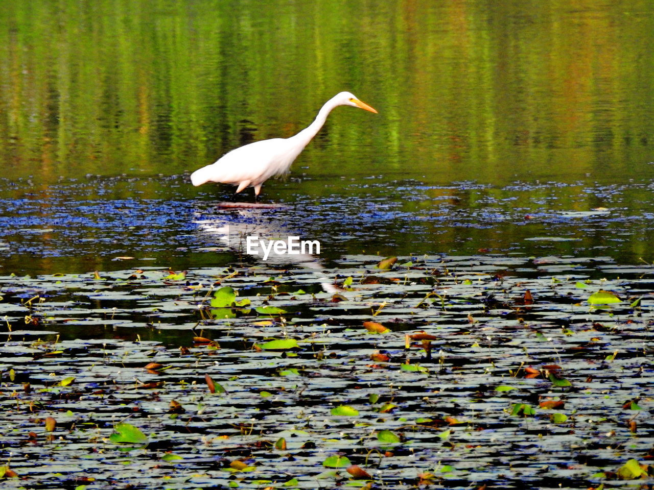 one animal, animals in the wild, water, lake, animal themes, bird, animal wildlife, nature, reflection, great egret, day, heron, egret, wading, outdoors, no people, plant, beauty in nature, full length