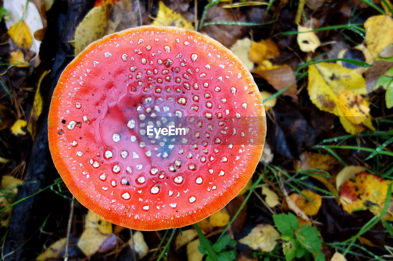 food, growth, fungus, close-up, mushroom, plant, no people, vegetable, fly agaric mushroom, nature, freshness, focus on foreground, beauty in nature, field, leaf, plant part, land, day, toadstool, red, outdoors, poisonous