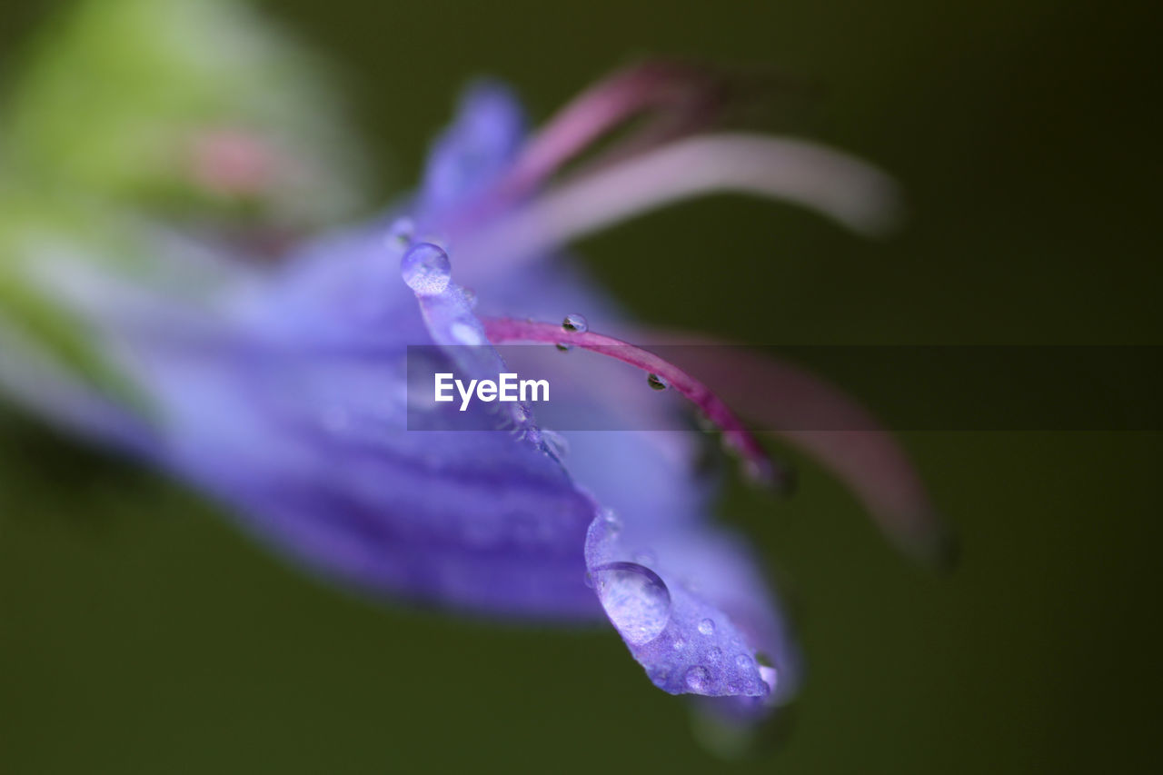 CLOSE-UP OF WET PURPLE FLOWERING PLANT