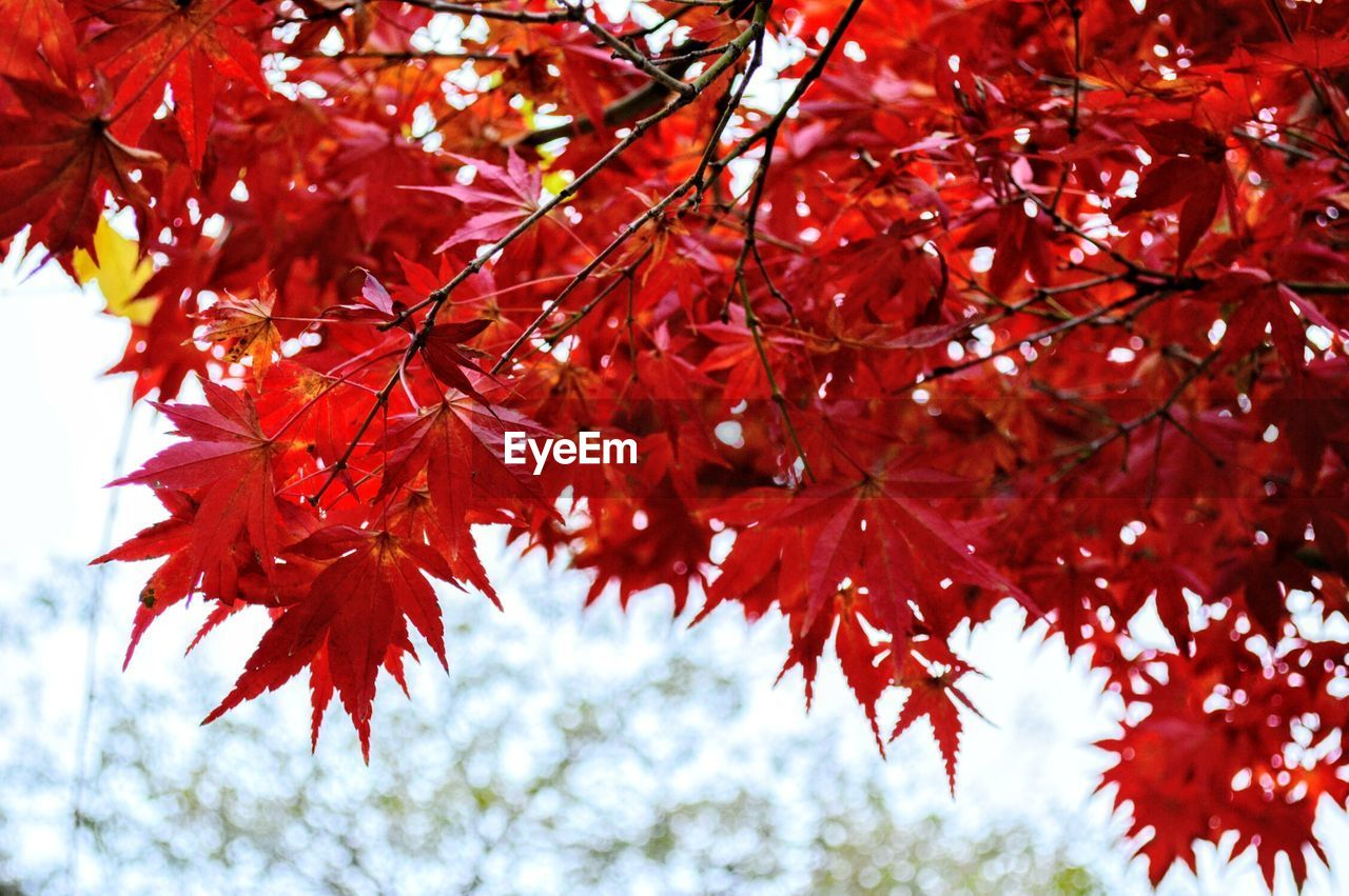 autumn, change, leaf, tree, maple tree, beauty in nature, maple leaf, nature, red, branch, leaves, maple, growth, outdoors, low angle view, day, focus on foreground, no people, tranquility, scenics, twig, close-up