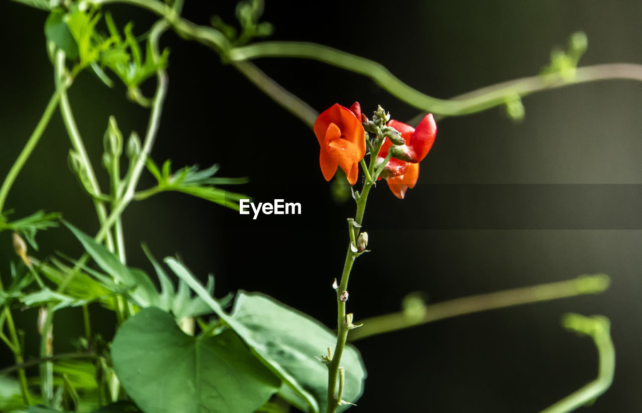 flowering plant, flower, plant, fragility, vulnerability, growth, freshness, beauty in nature, petal, close-up, nature, flower head, no people, green color, inflorescence, plant stem, orange color, plant part, leaf, focus on foreground, outdoors