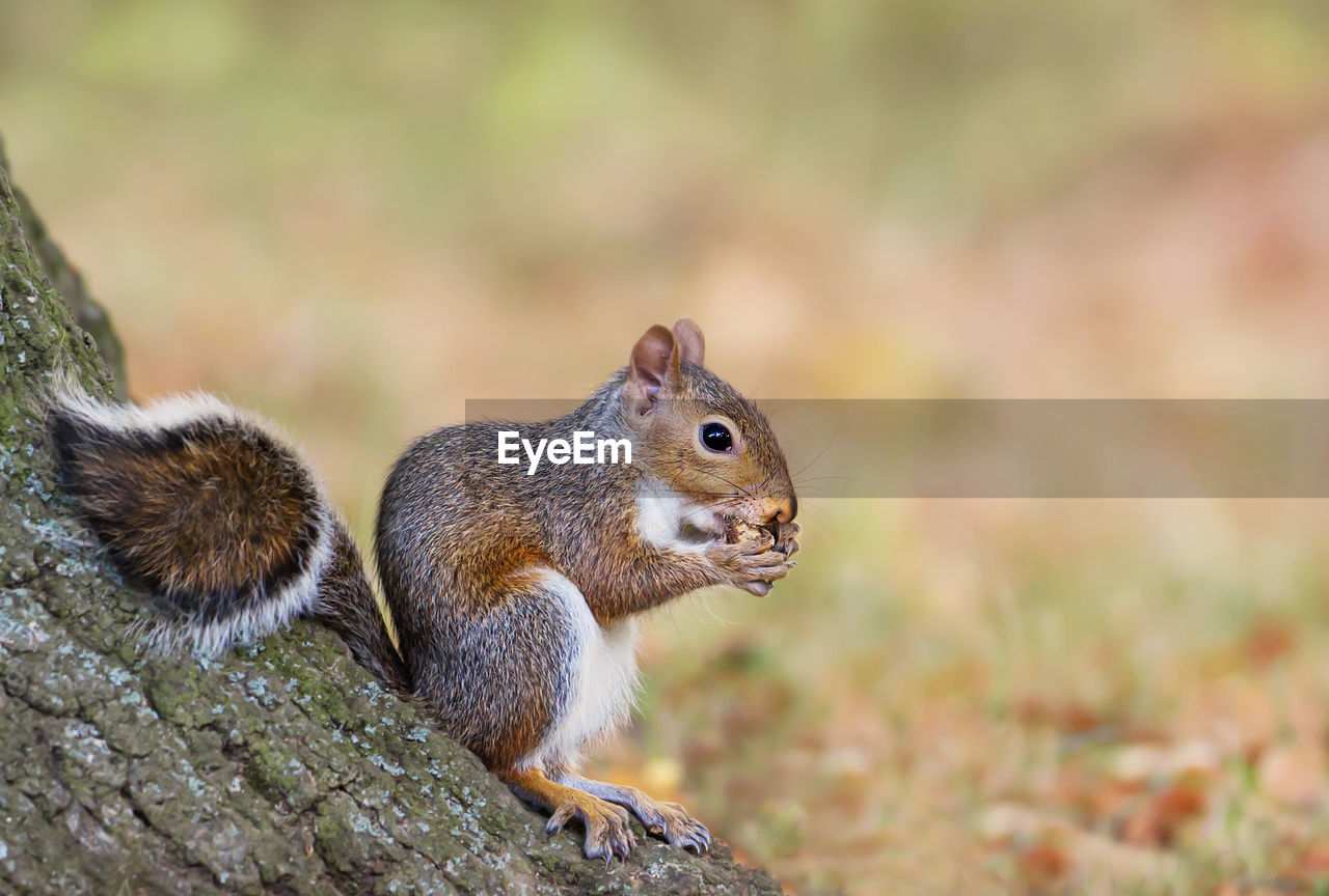 animal themes, rodent, animal, animal wildlife, animals in the wild, mammal, squirrel, one animal, no people, close-up, nature, vertebrate, day, focus on foreground, selective focus, land, tail, outdoors, side view, nut, whisker